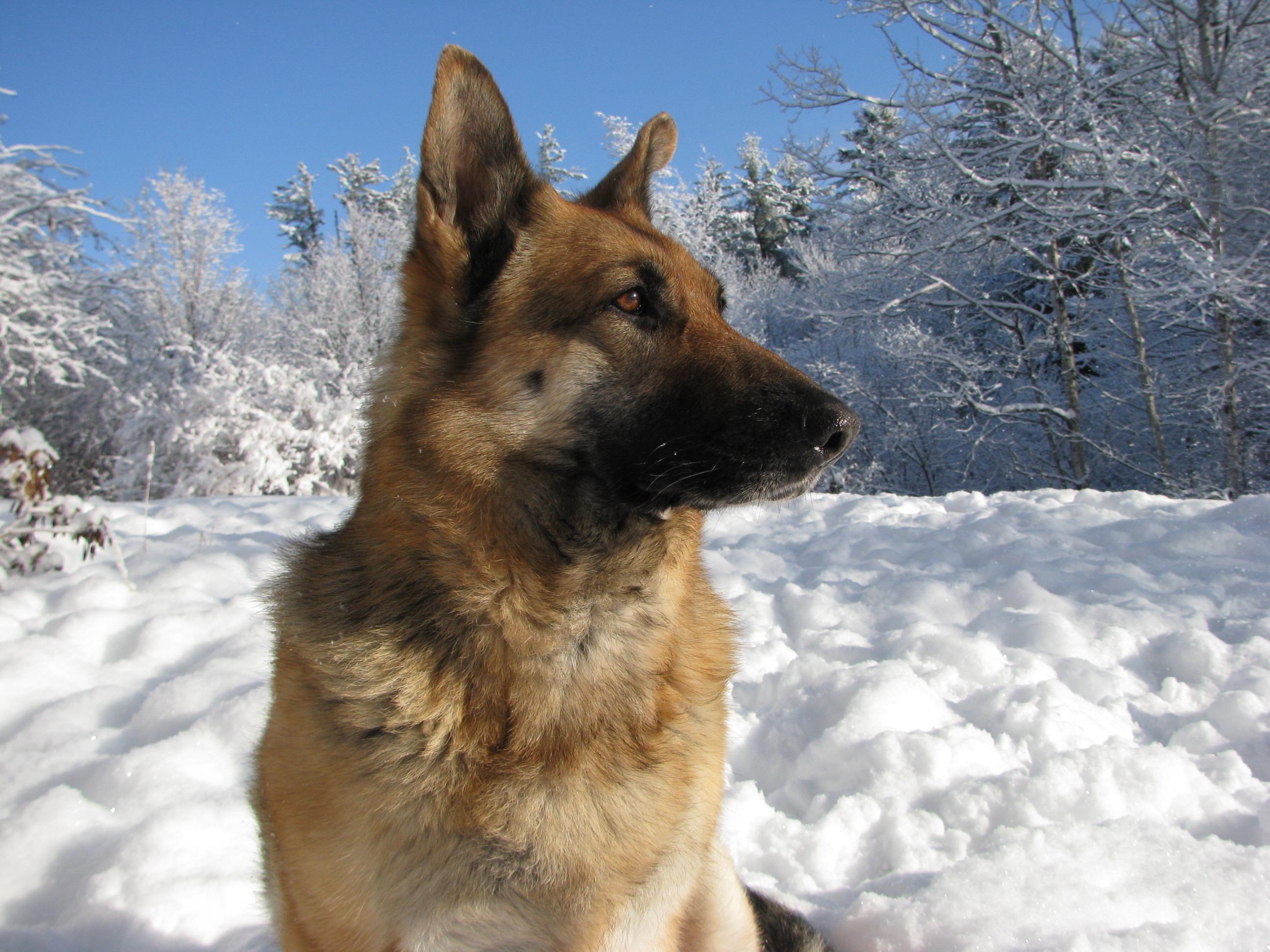 Овчарка в снегу  № 836533 загрузить