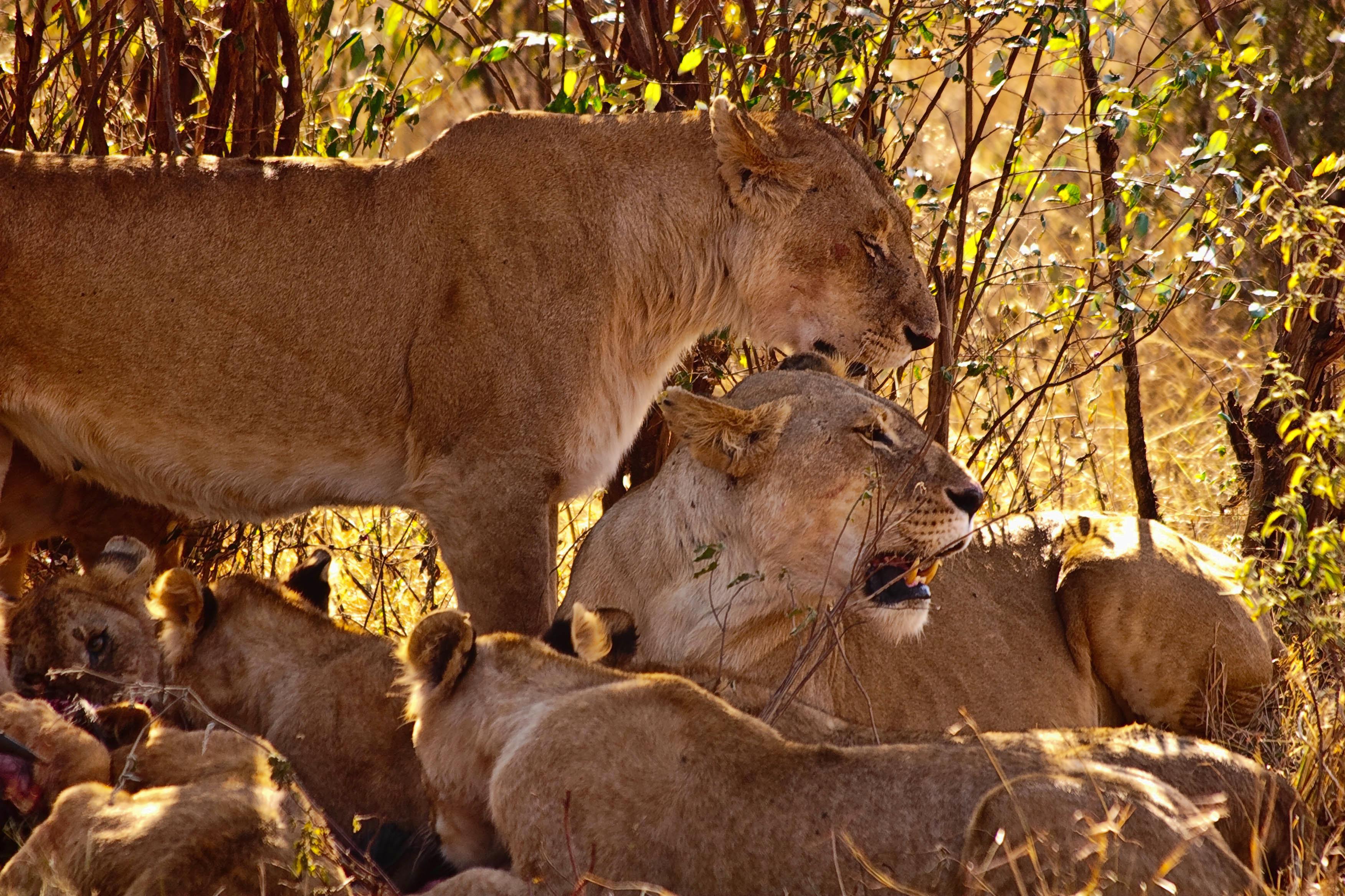Семья львов скачать