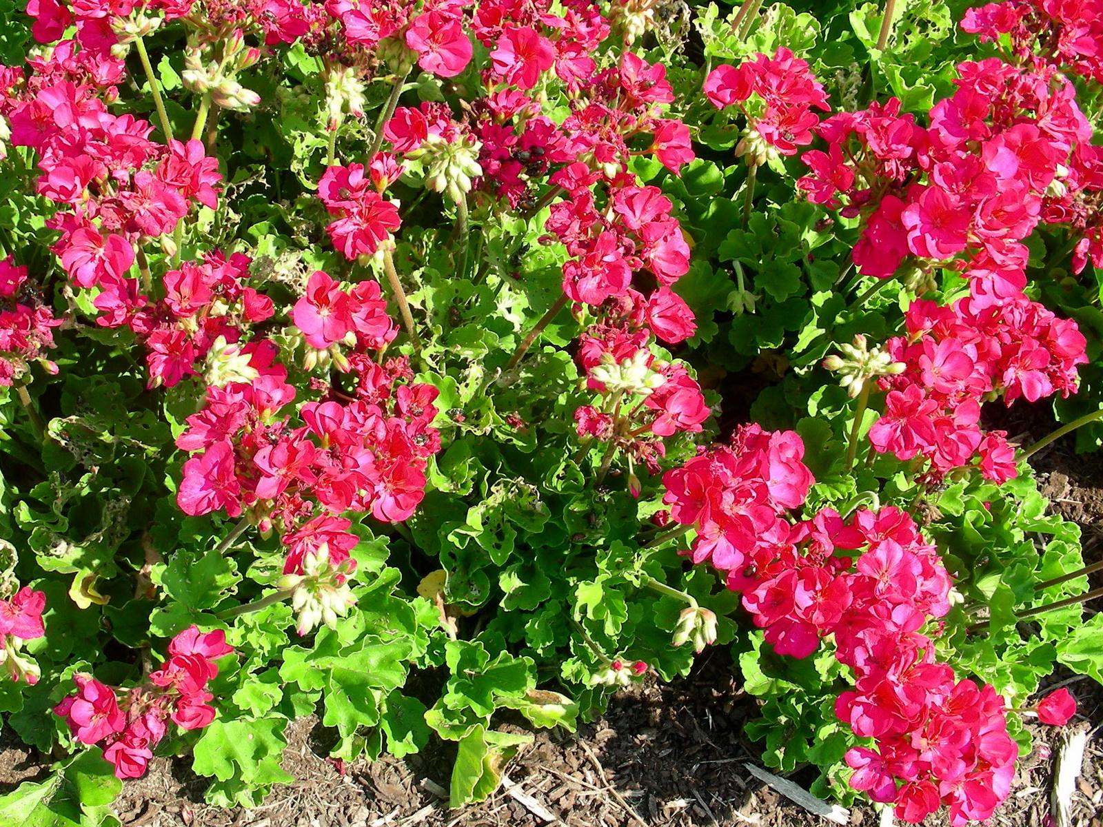 Пеларгония цветов в саду