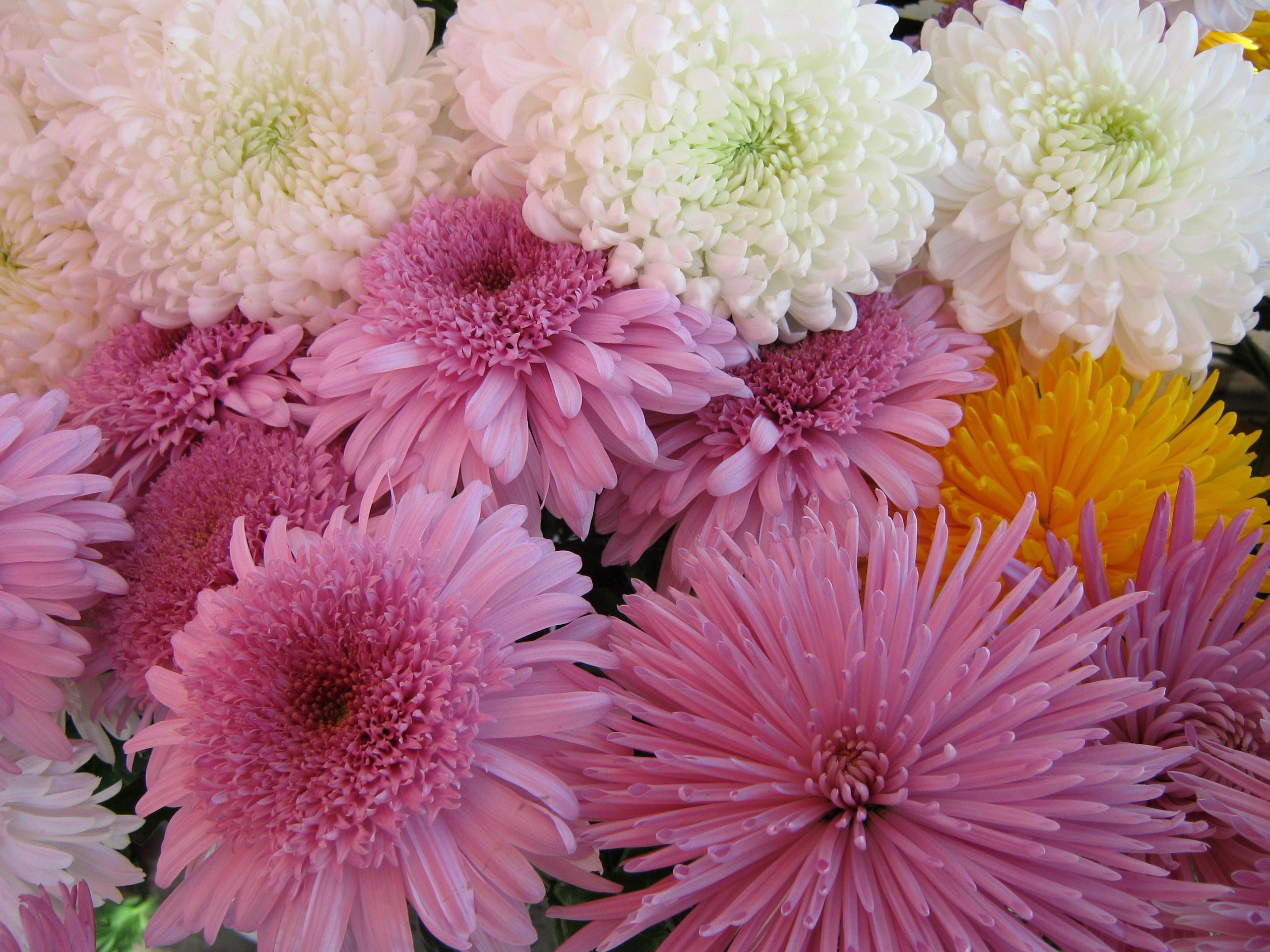 обои для рабочего стола осенние цветы хризантемы № 1155215  скачать