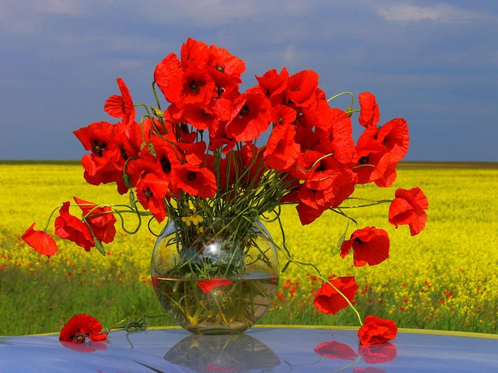 фото цветов маки