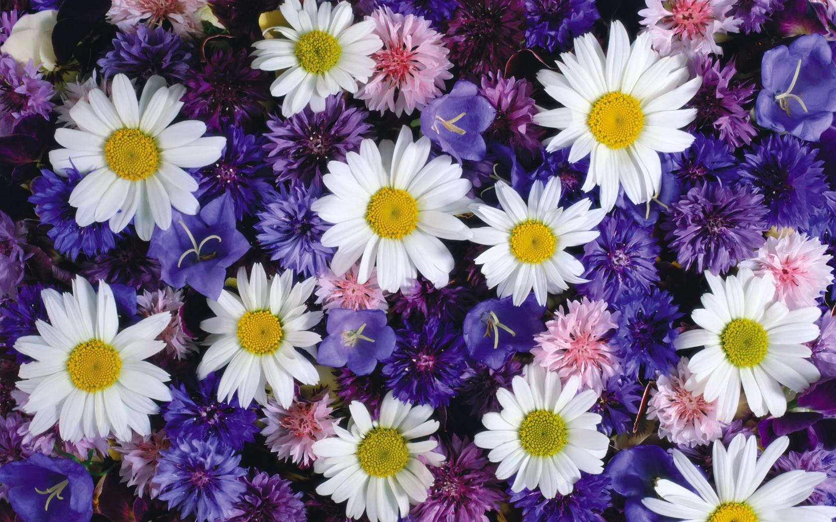 ромашки картинки цветы