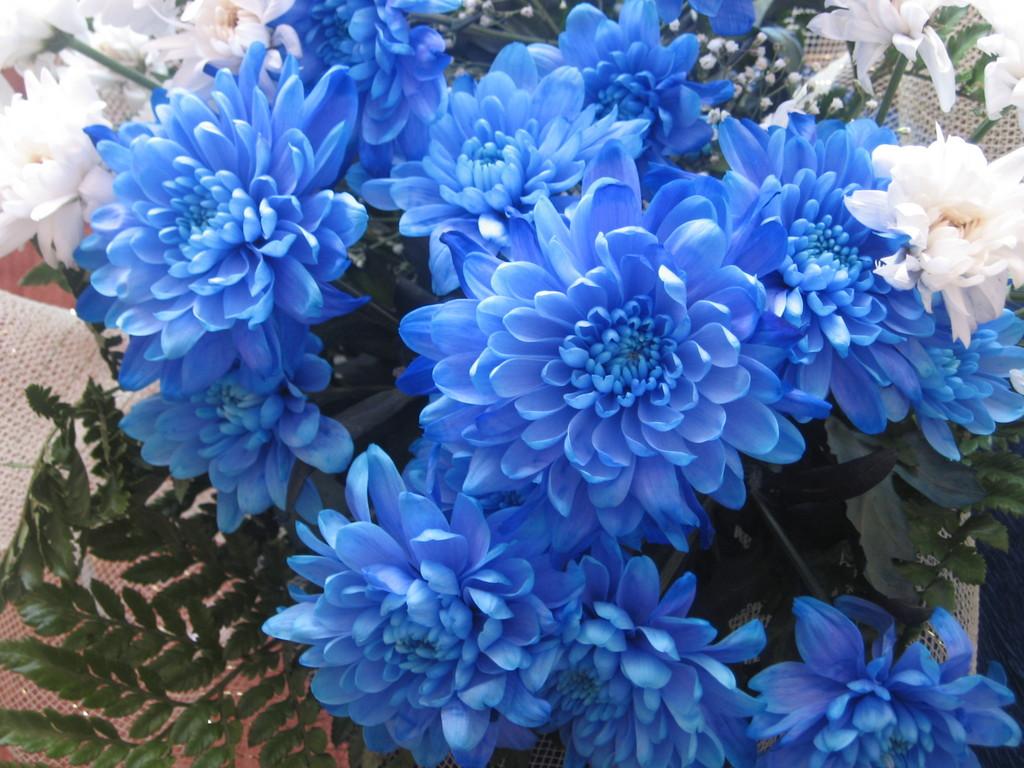 Обои, картинки Хризантемы - Цветы  183493