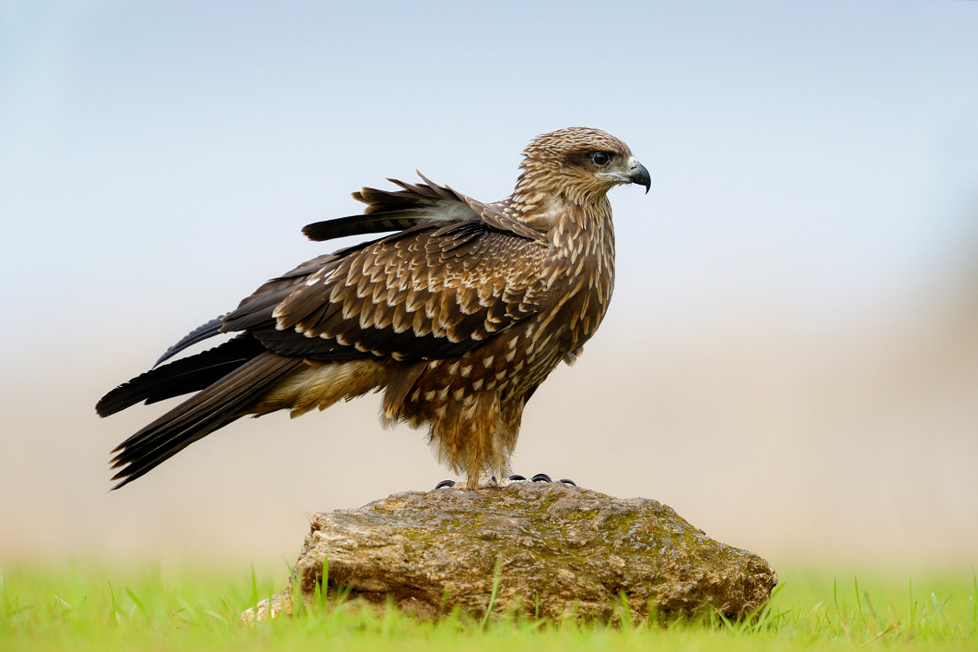 природа животные птица сокол nature animals bird Falcon  № 2993117  скачать