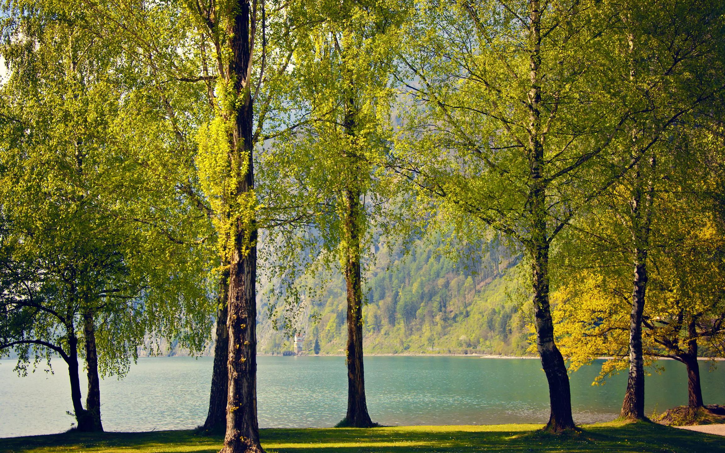 природа береза деревья вода озеро лес  № 2791967  скачать
