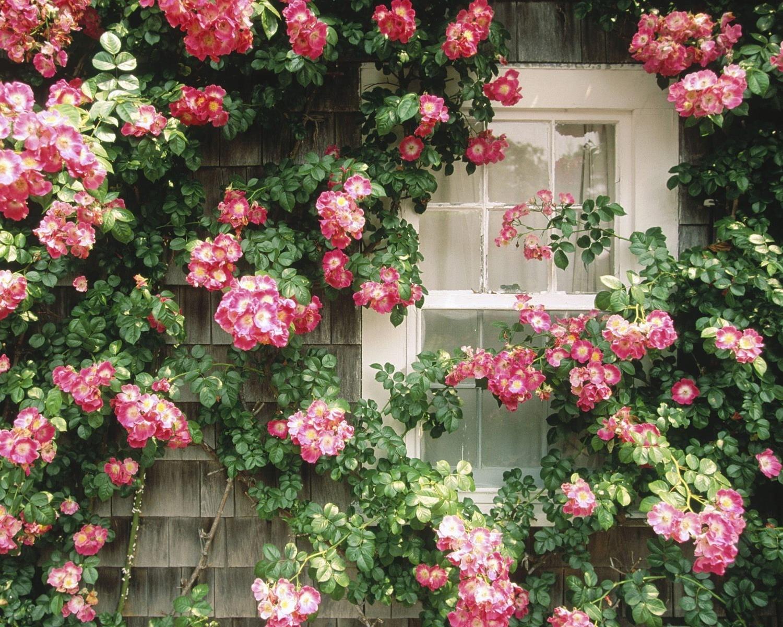 Розы куст забор  № 3015366  скачать