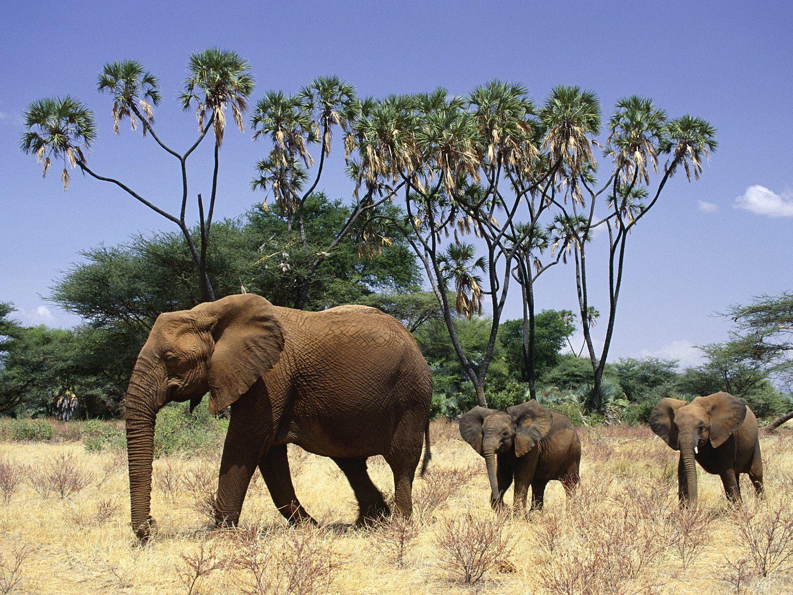 Слон  № 1010720 без смс