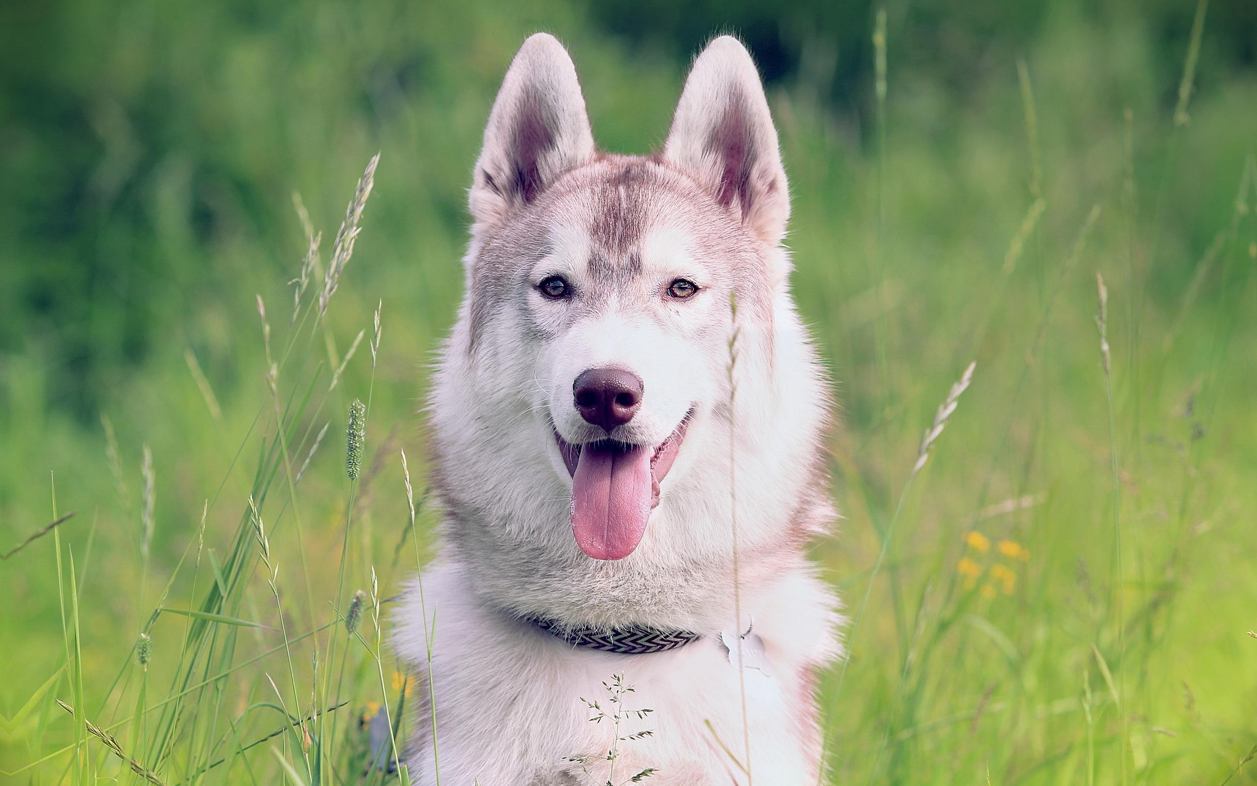 природа животное собака морда хаски  № 3886626 загрузить