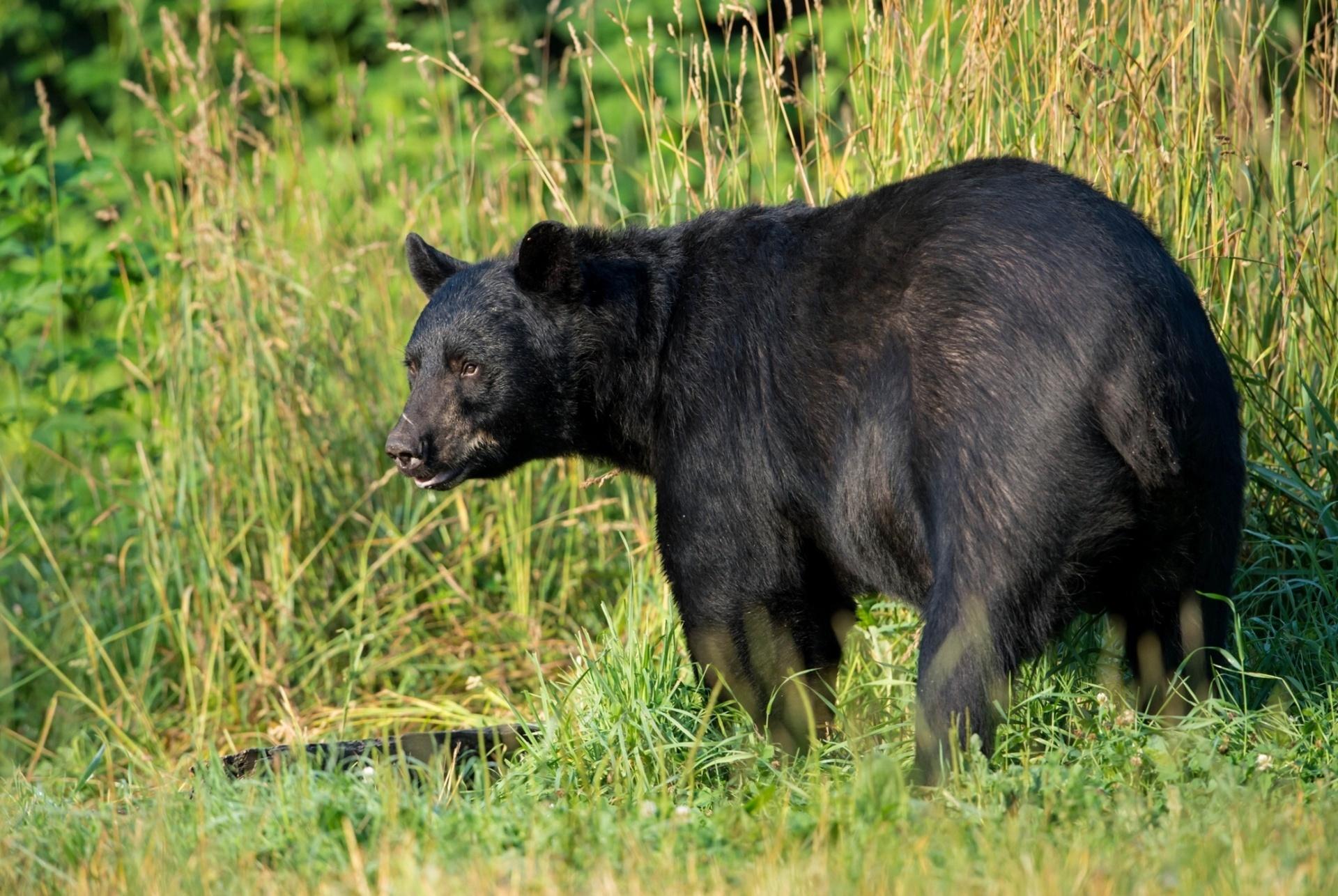 Черны медведь  № 3207590  скачать
