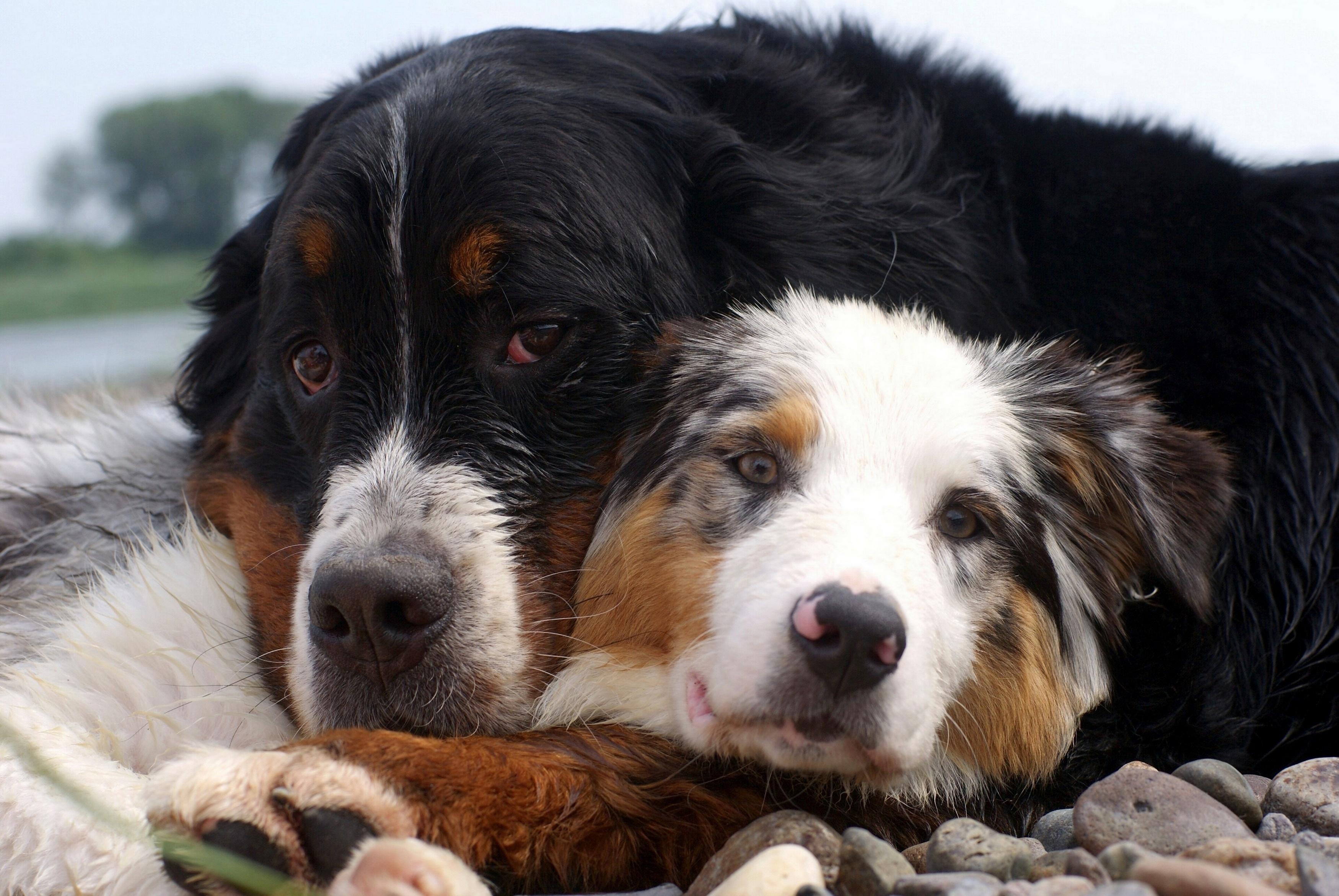 влюбленная собака скачать