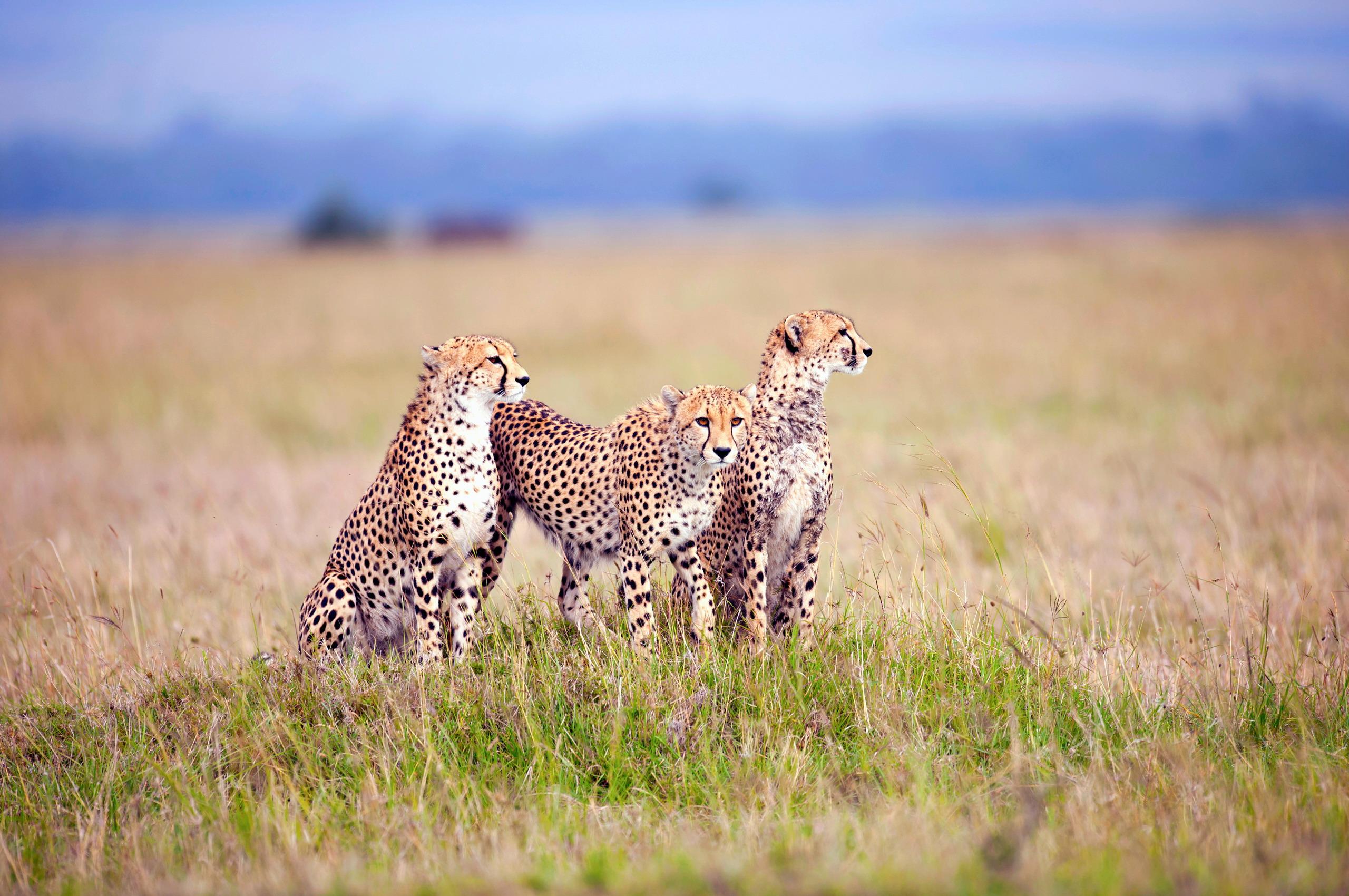 природа животные Гепарды камни трава дерево горизонт  № 276792 бесплатно