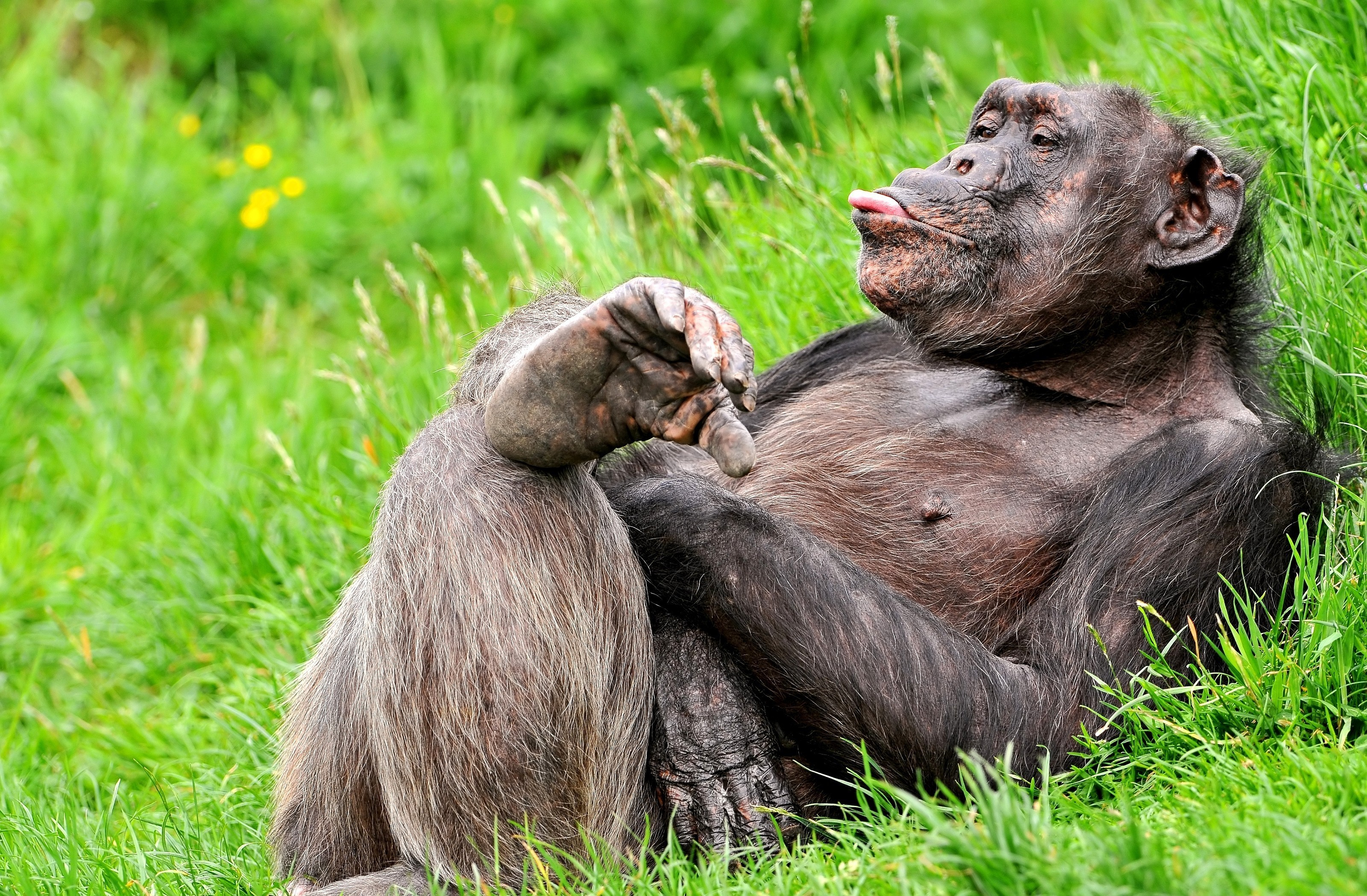 Шимпанзе бесплатно