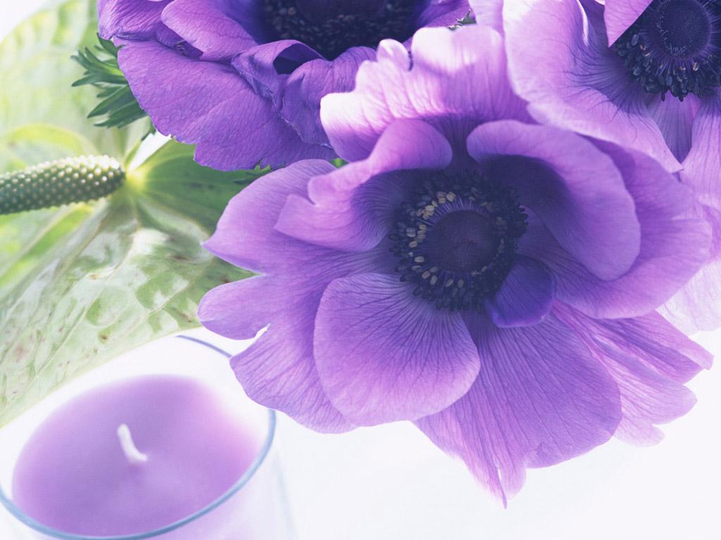 цветы анемоны фото: