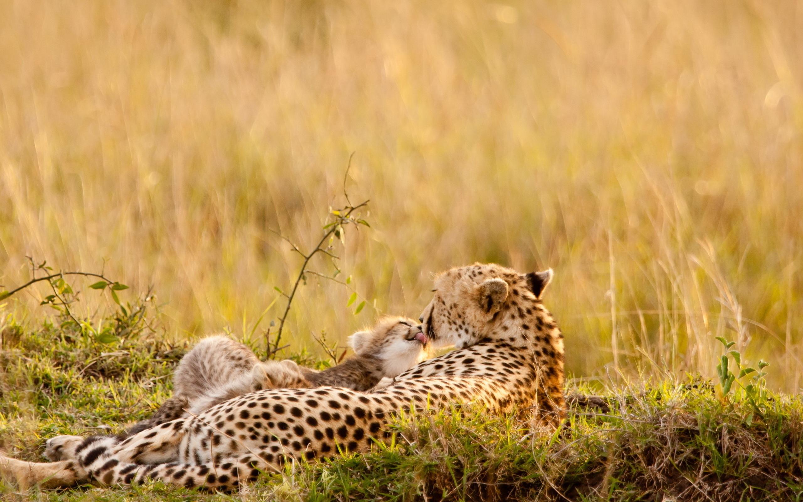 природа животные Гепарды камни трава дерево горизонт  № 276692 без смс