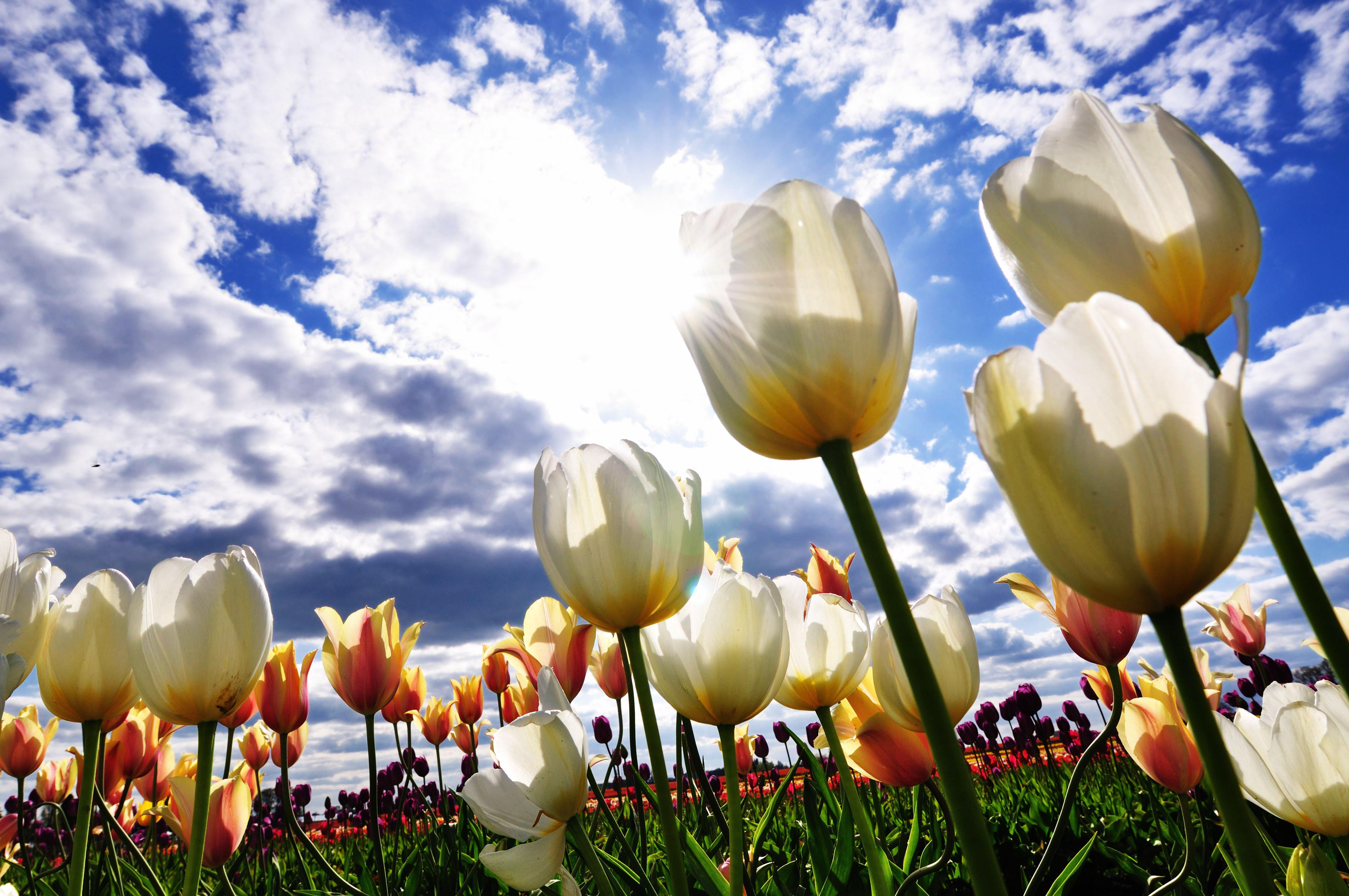 тюльпаны поляна закат  № 3285882 без смс