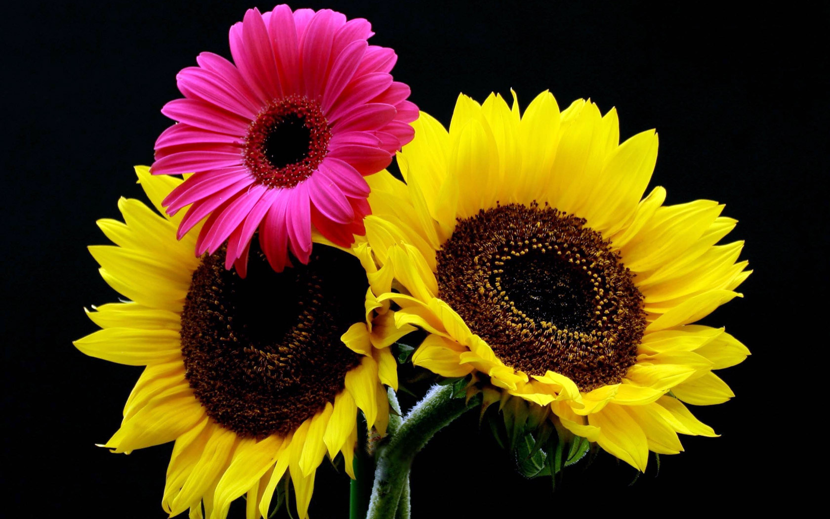 Герберы Цветы