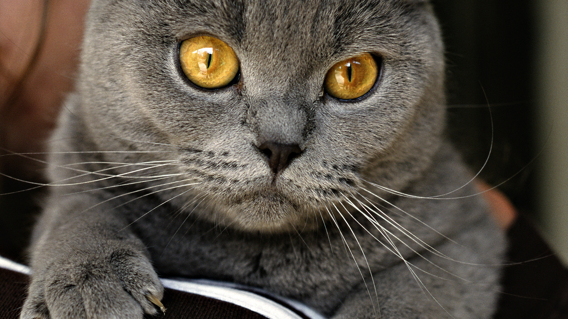 котенок пепельный дымчатый загрузить