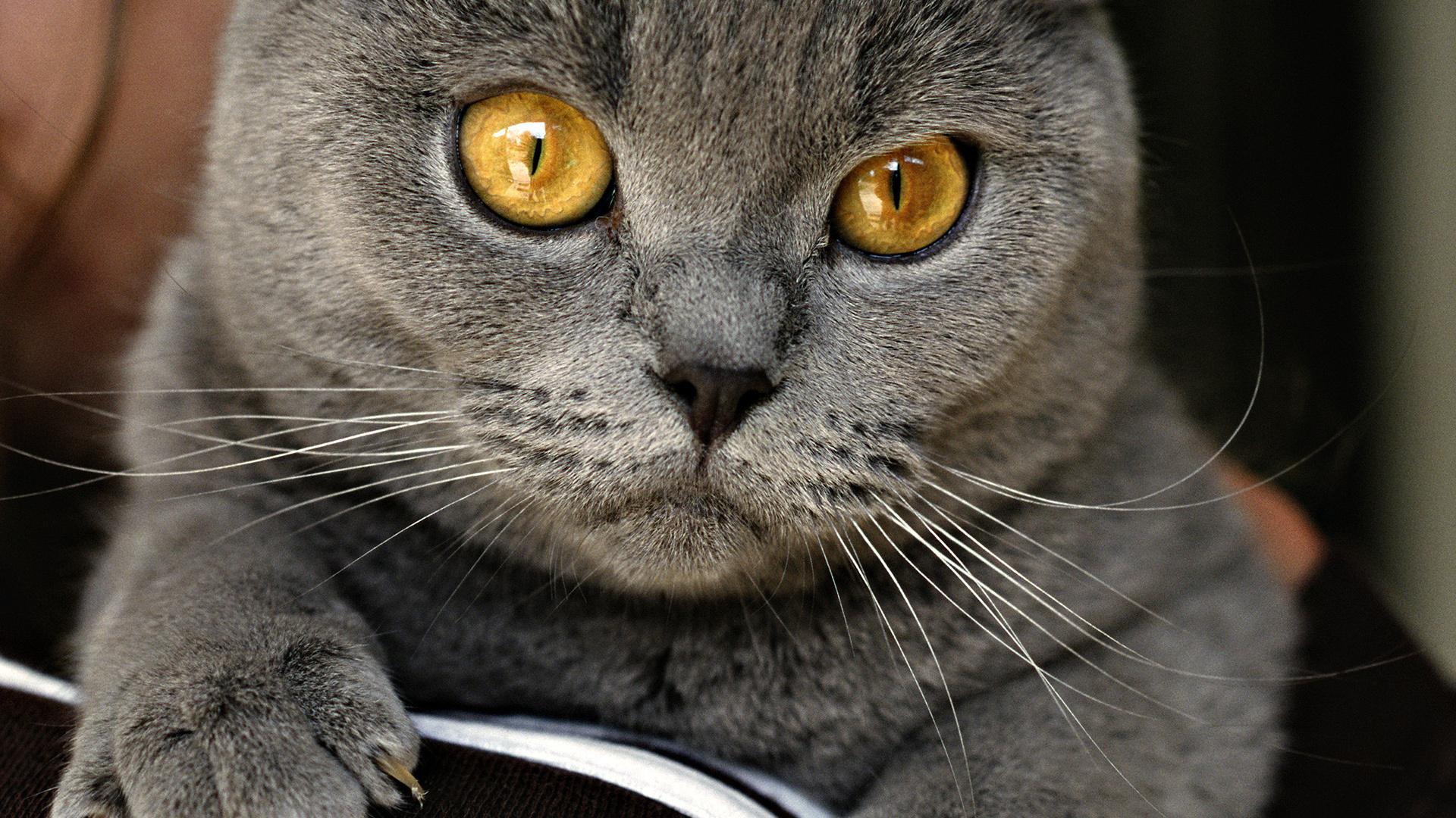 Серый кот  № 411885 бесплатно