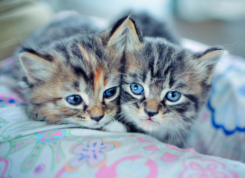 Гулубоглазый дымчатый котенок без смс