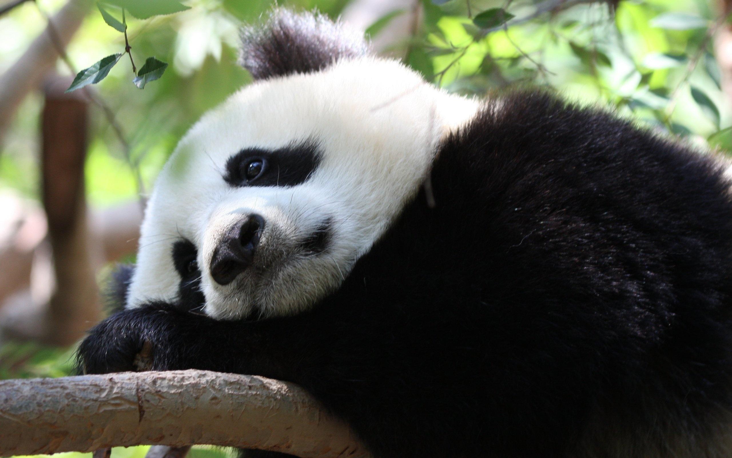 Панда без смс