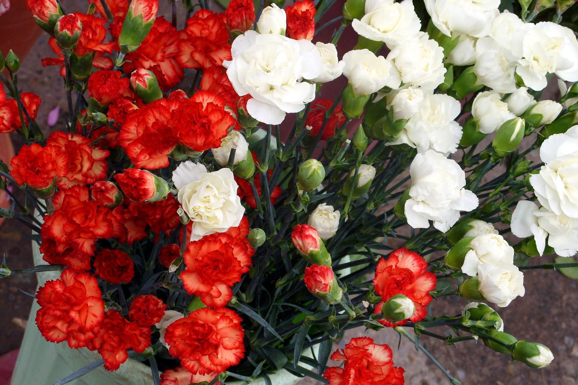 фото цветов гвоздики: