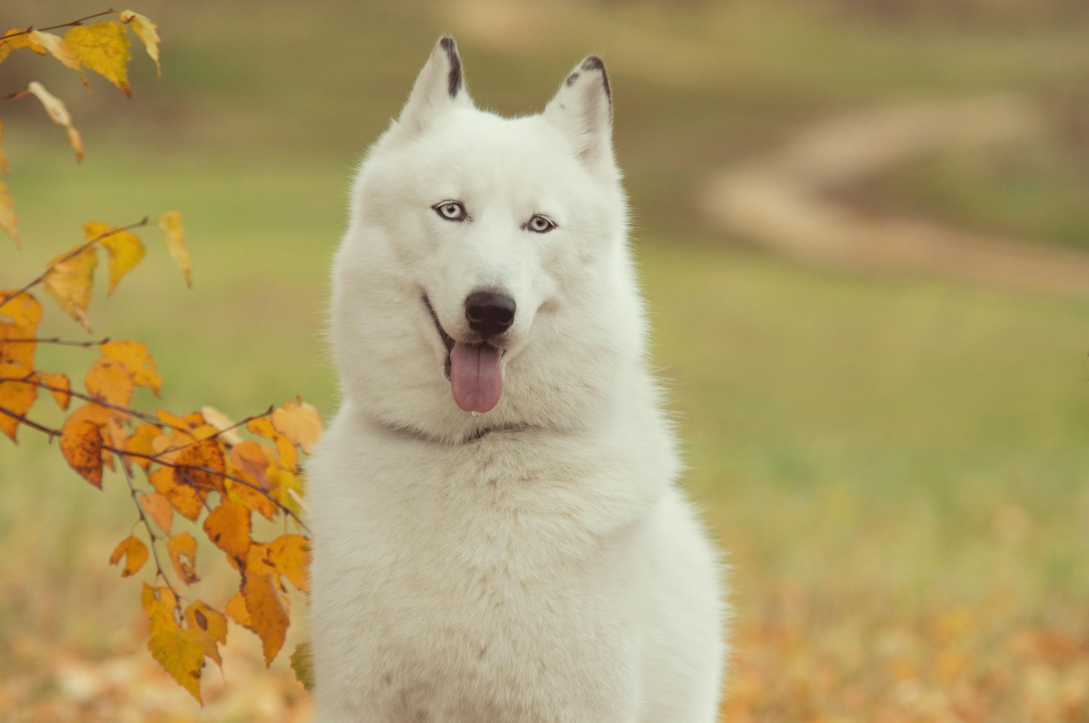 природа белая собака животное улыбка  № 1423914 бесплатно