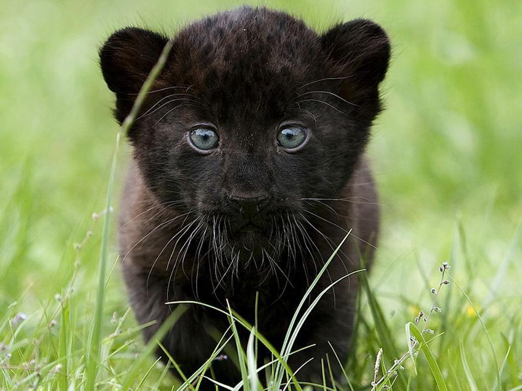 Котята пантеры фото