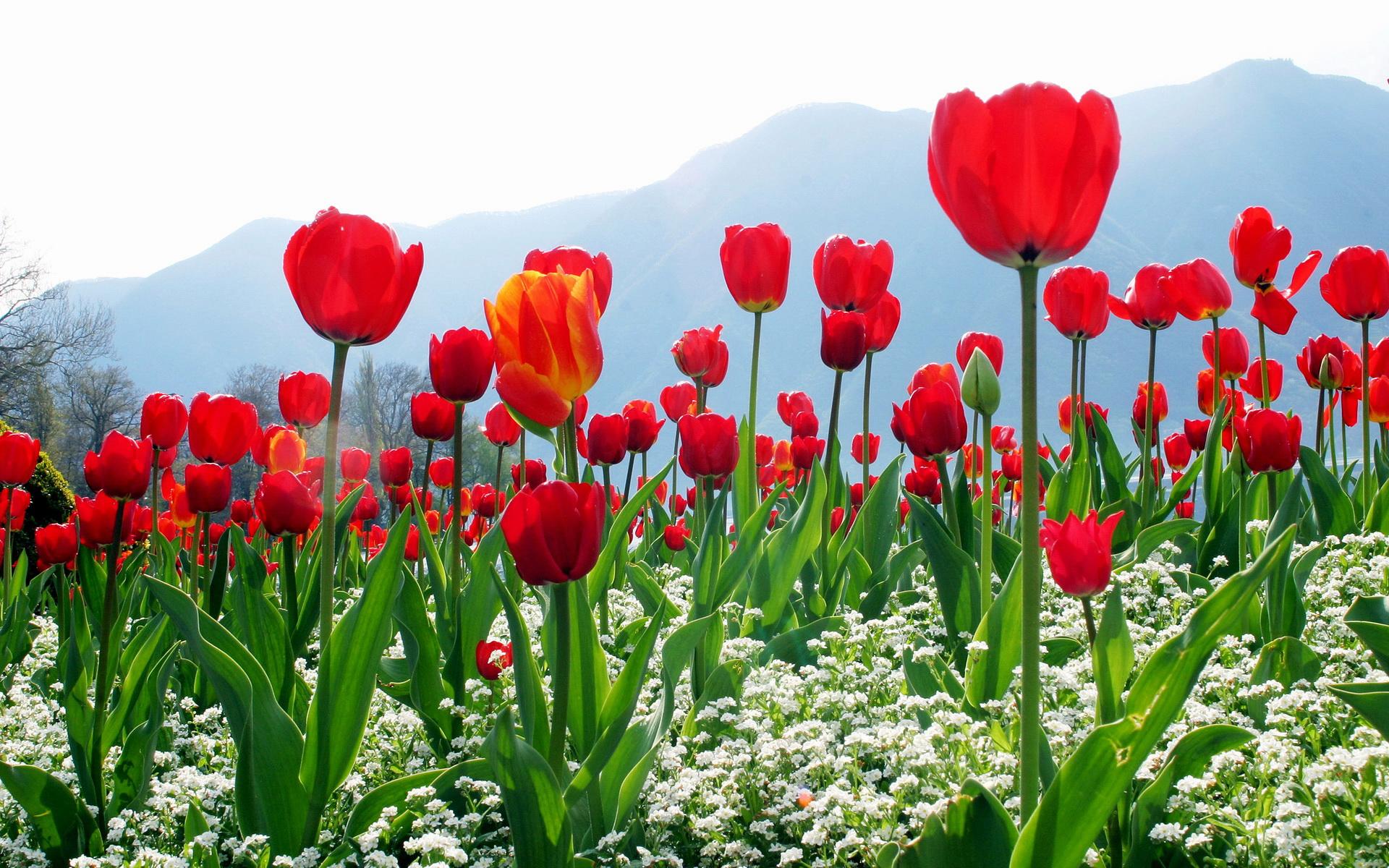 Тюльпаны среди деревьев без смс