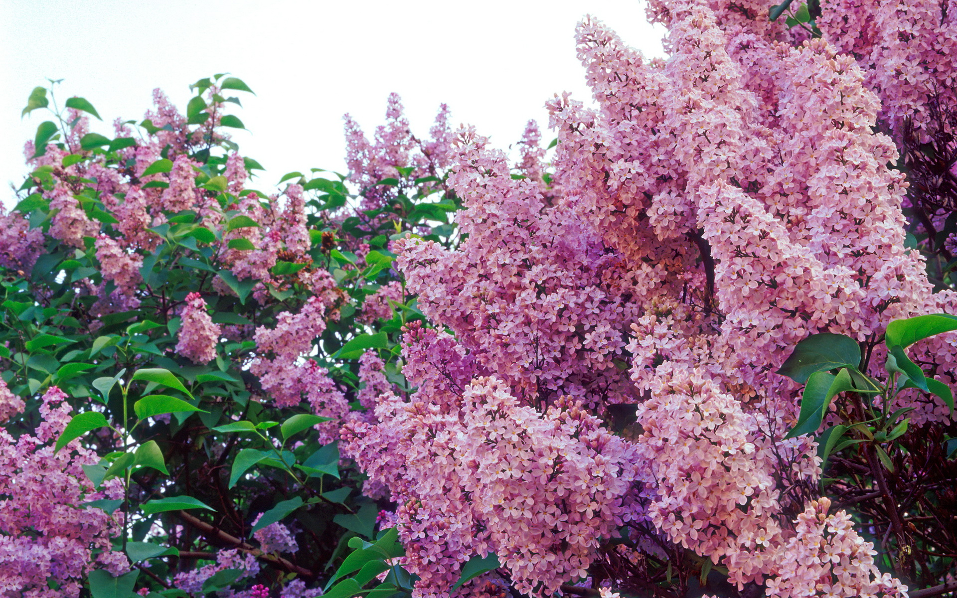фото цветов сирени: