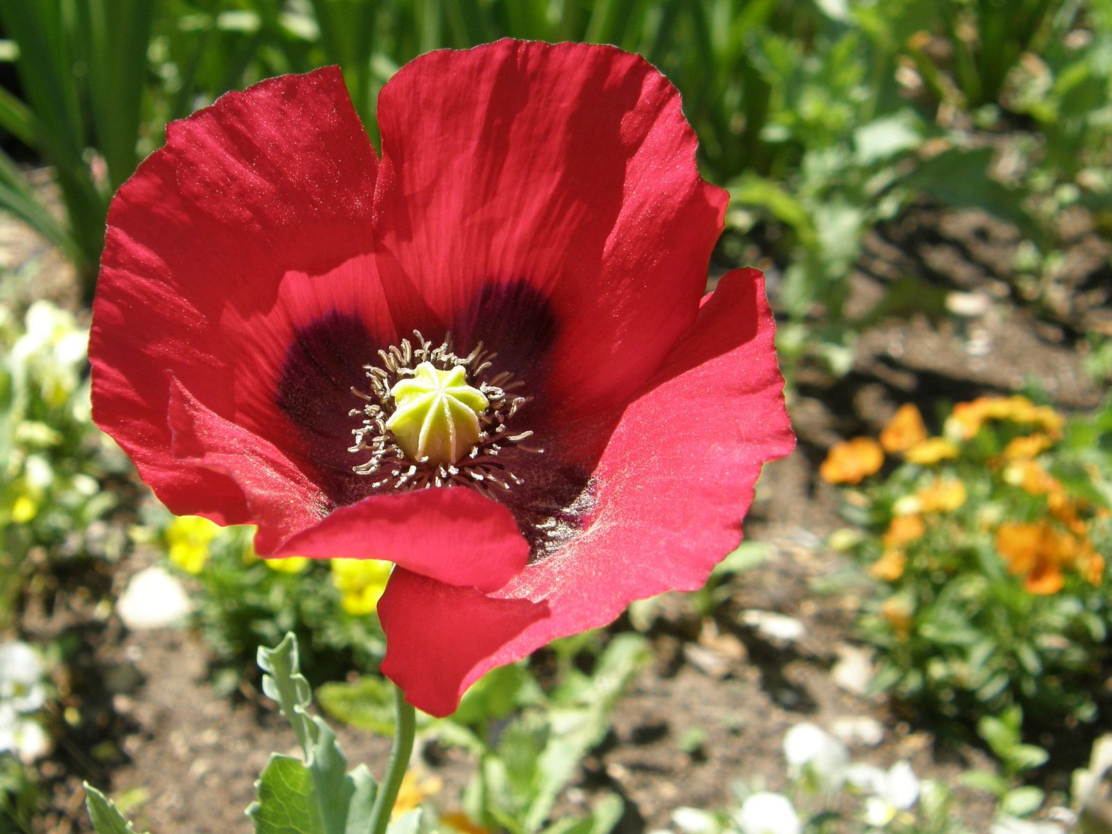 Lt b gt мак lt b gt цветы обои и фото