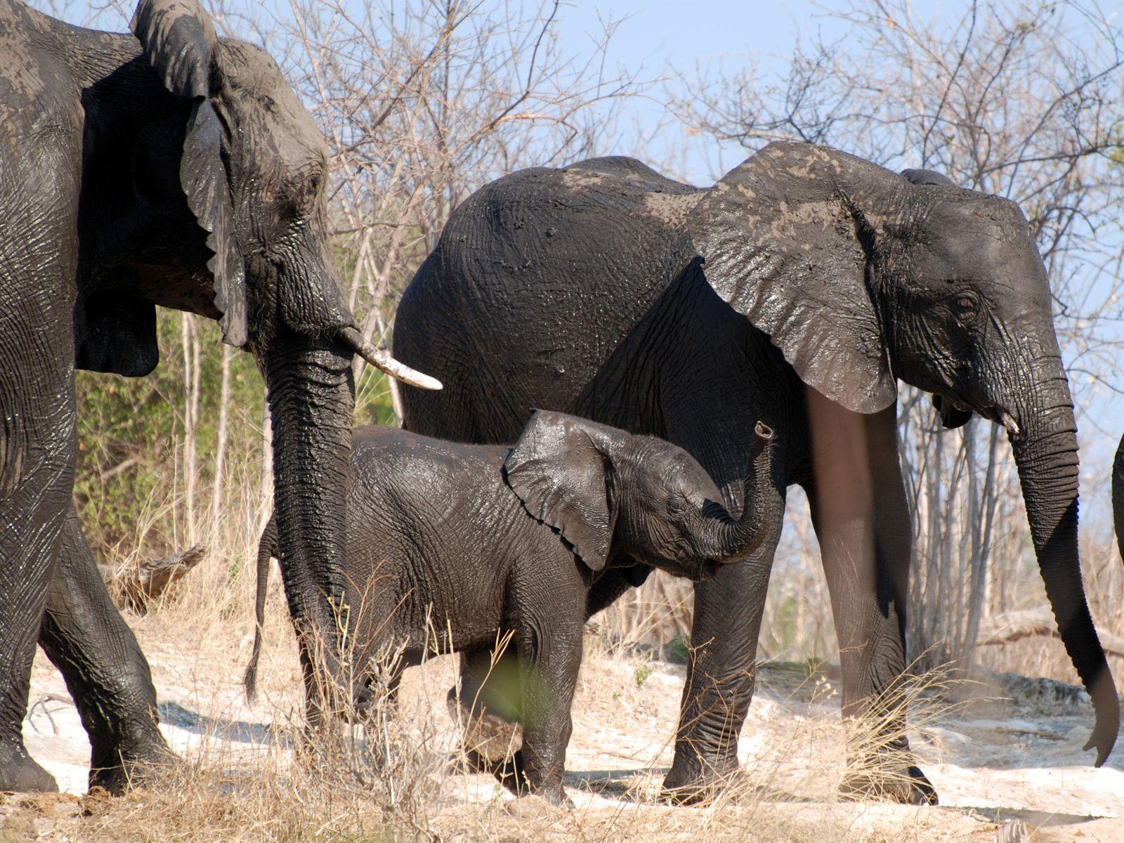 Слон и секс 19 фотография