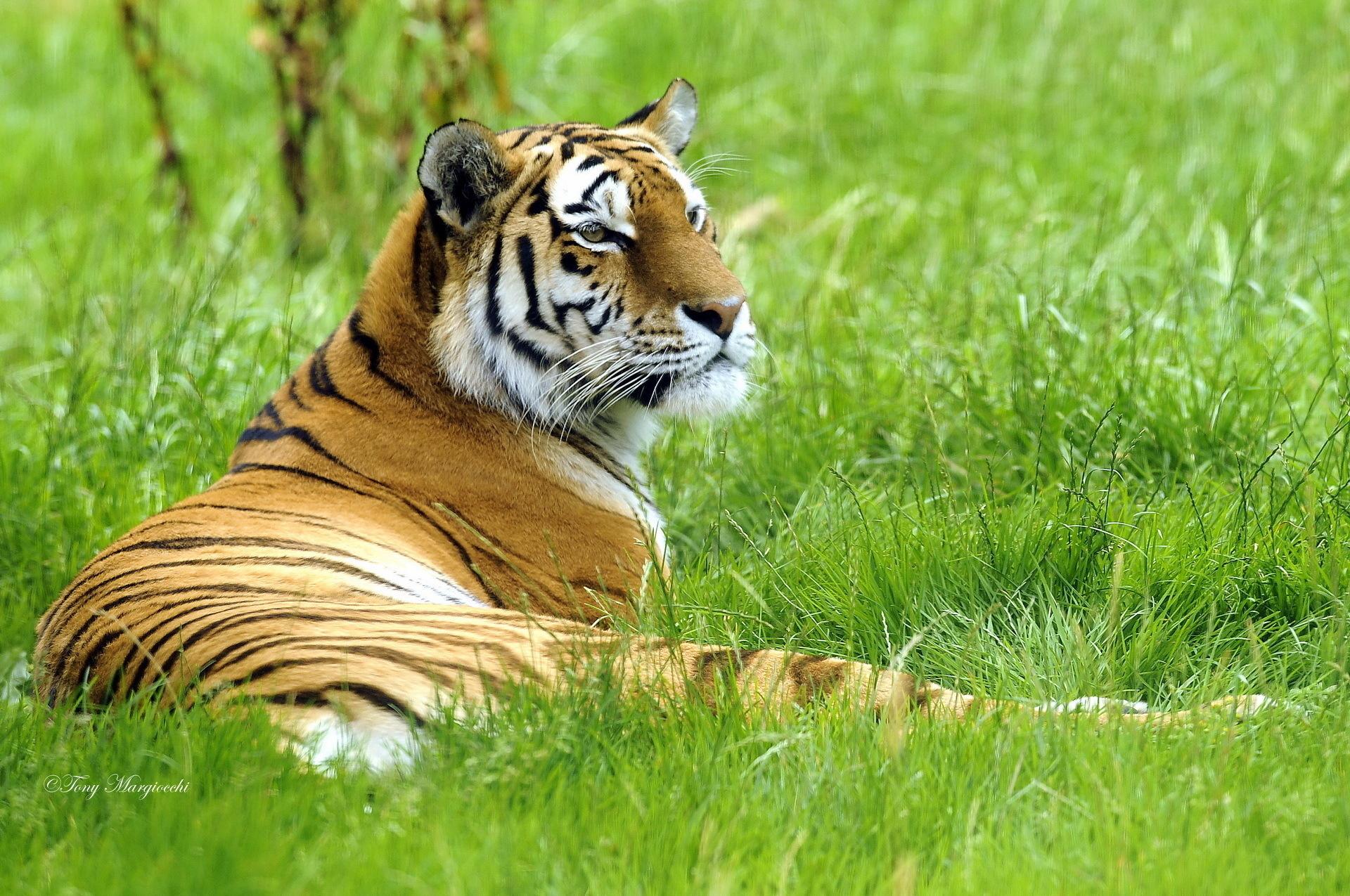 Тигр под пальмой тигр взгляд вверх  № 2081275 загрузить