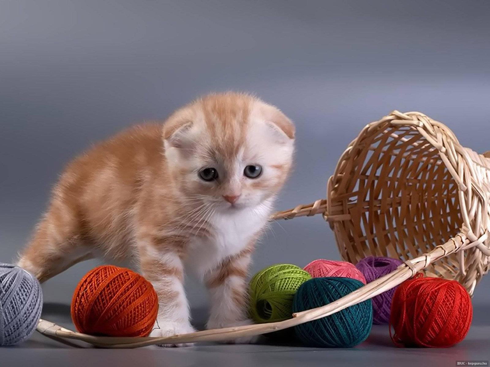 Кошки и котята породы Британская - купить из питомников и ...