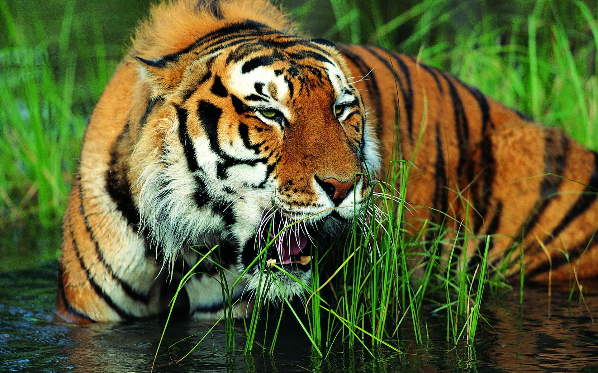 тигры трава природа  № 2011188 загрузить