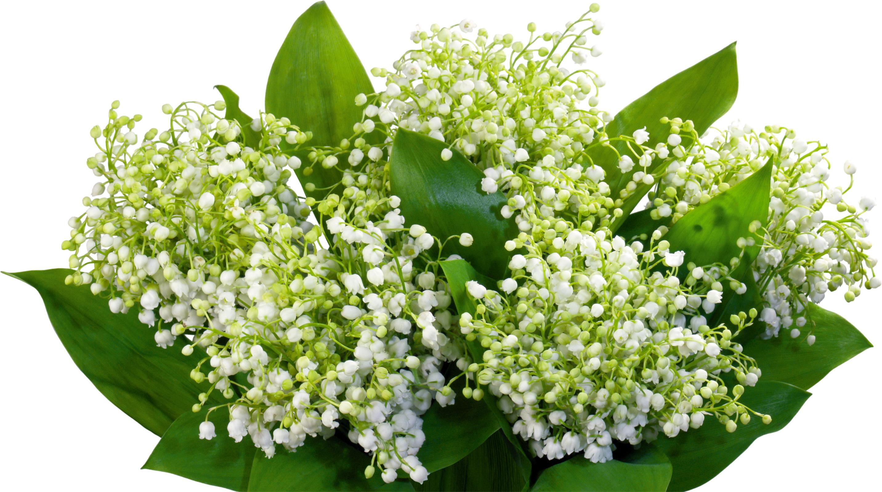 Цветок большой ландыш