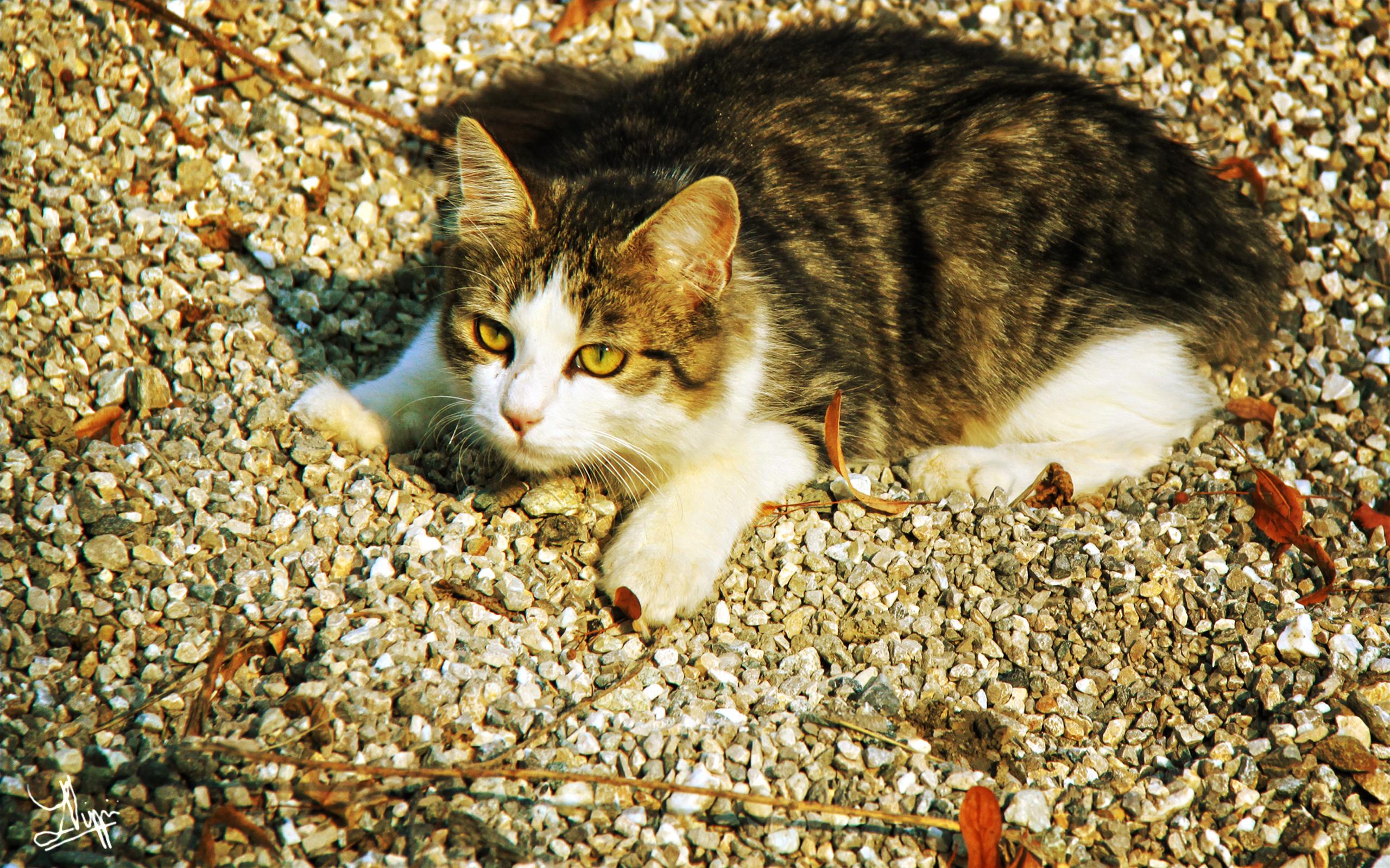 Обои Кошки ( Коты ) щебенка Животные Фото 308780