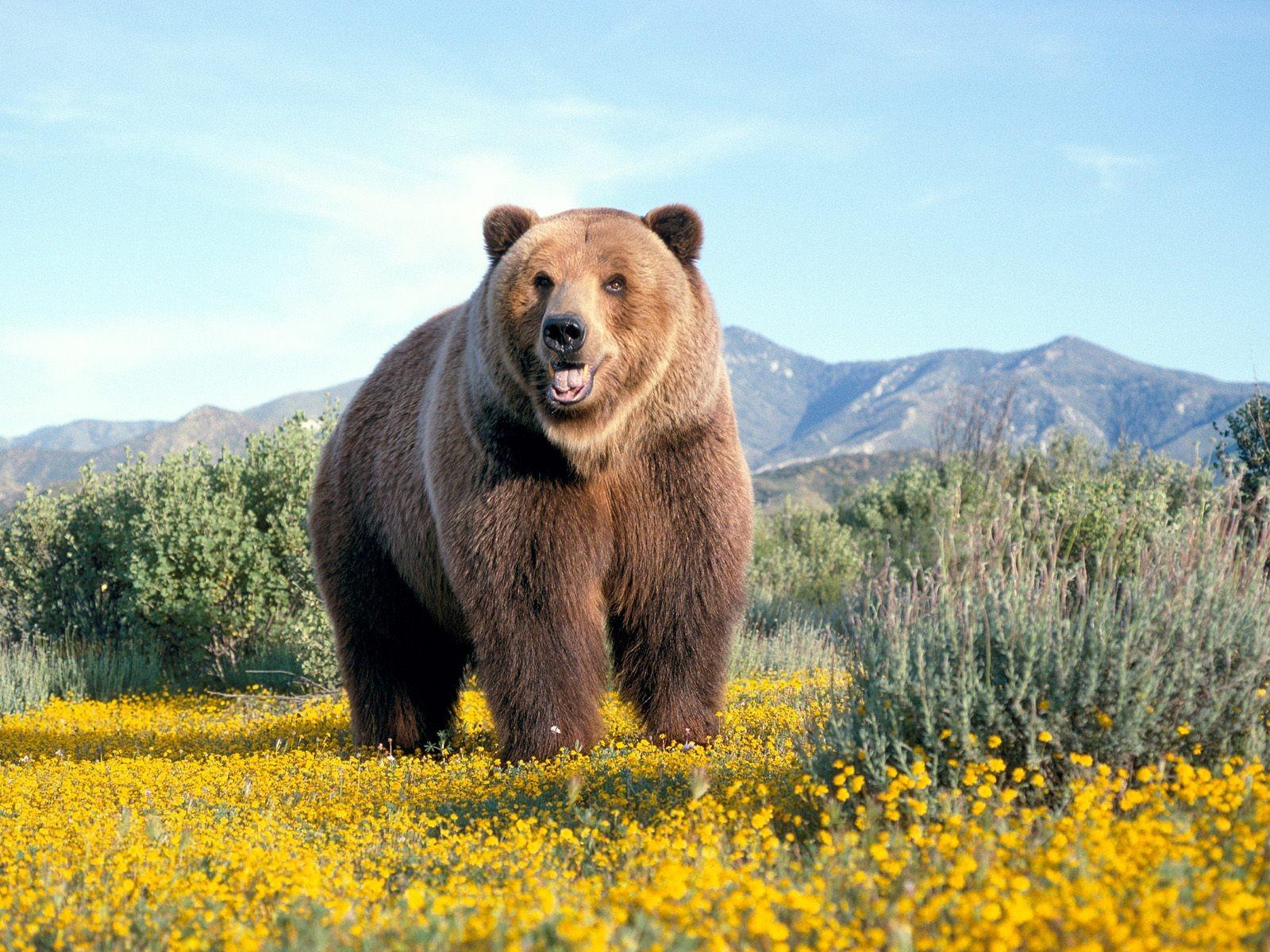 медведь картинки: