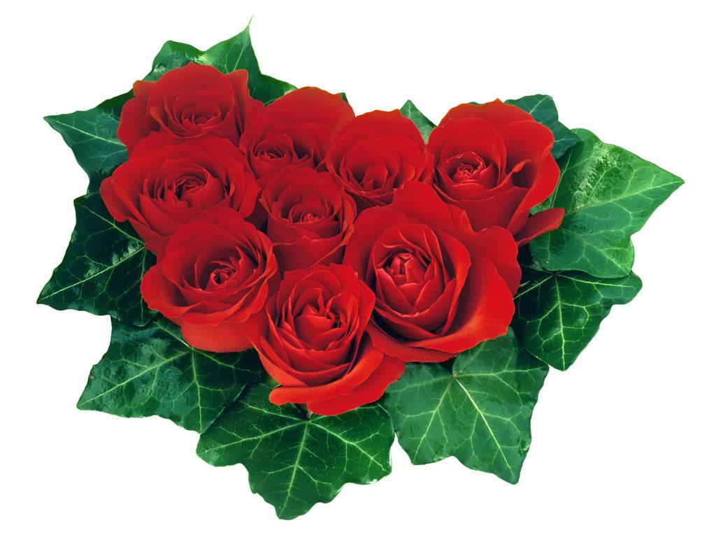 цветы розы фото картинки:
