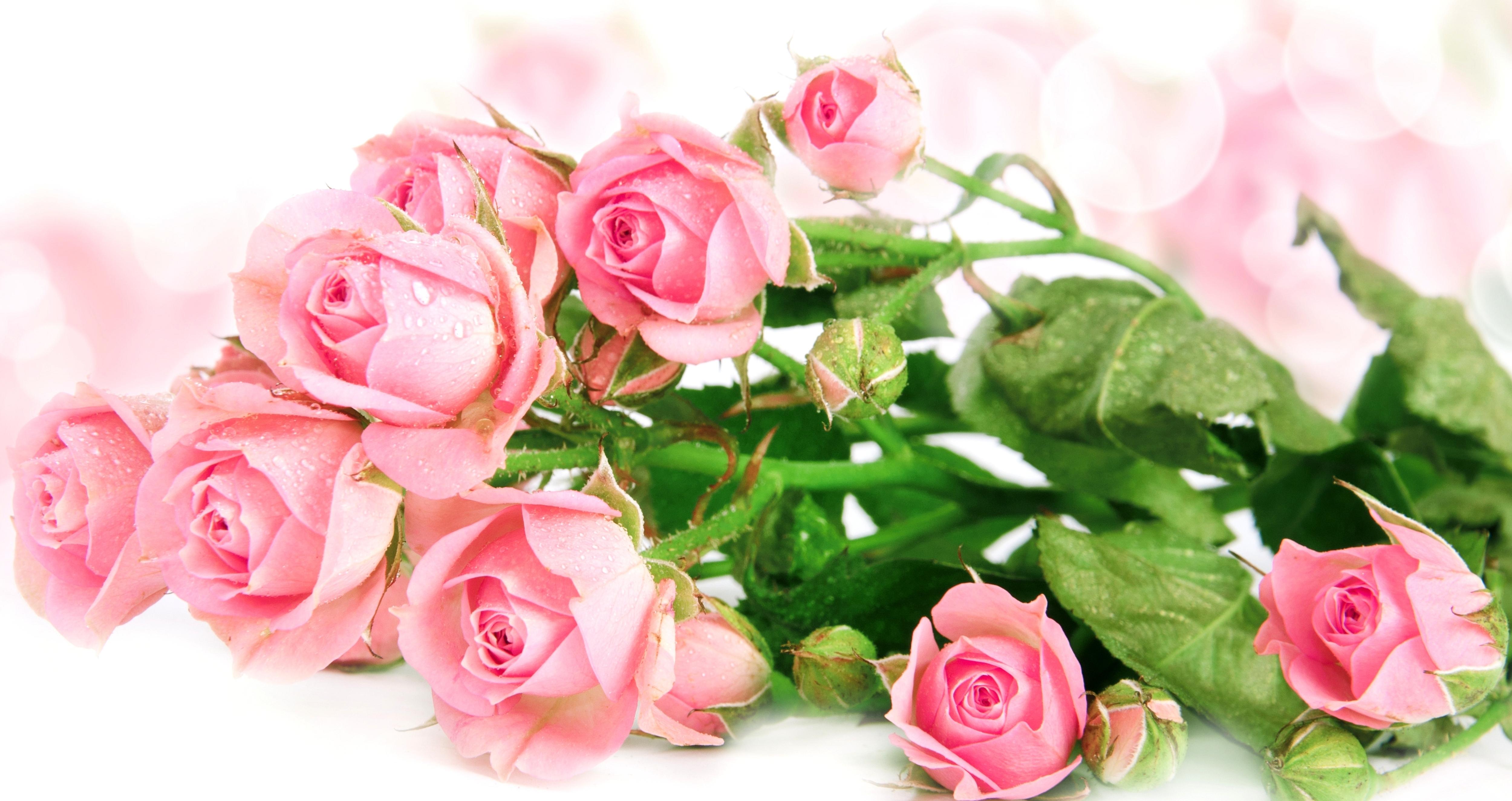 розовые розы обои на рабочий стол в высоком качестве № 130092  скачать