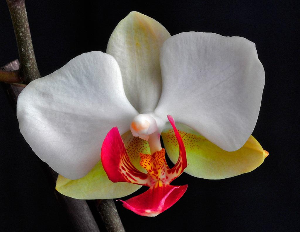 Цветок Фото Орхидея