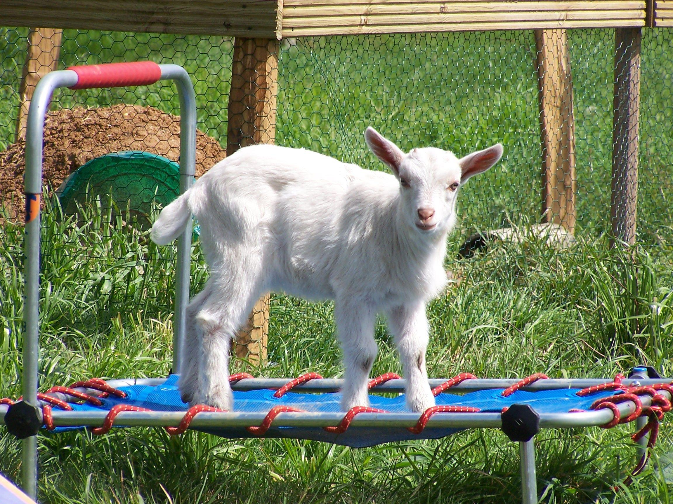 природа животные козы трава забор загрузить