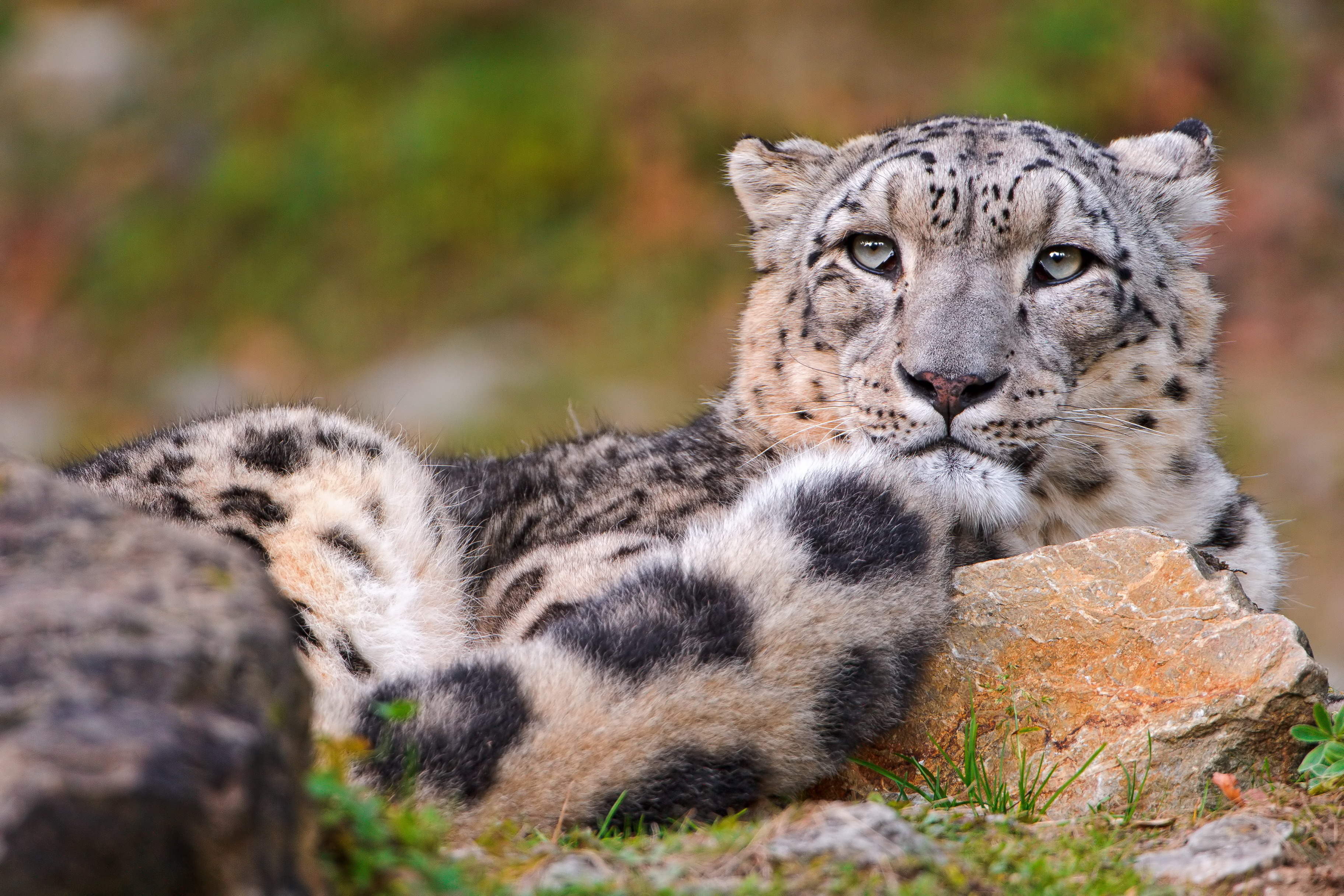животные снежный леопард без смс