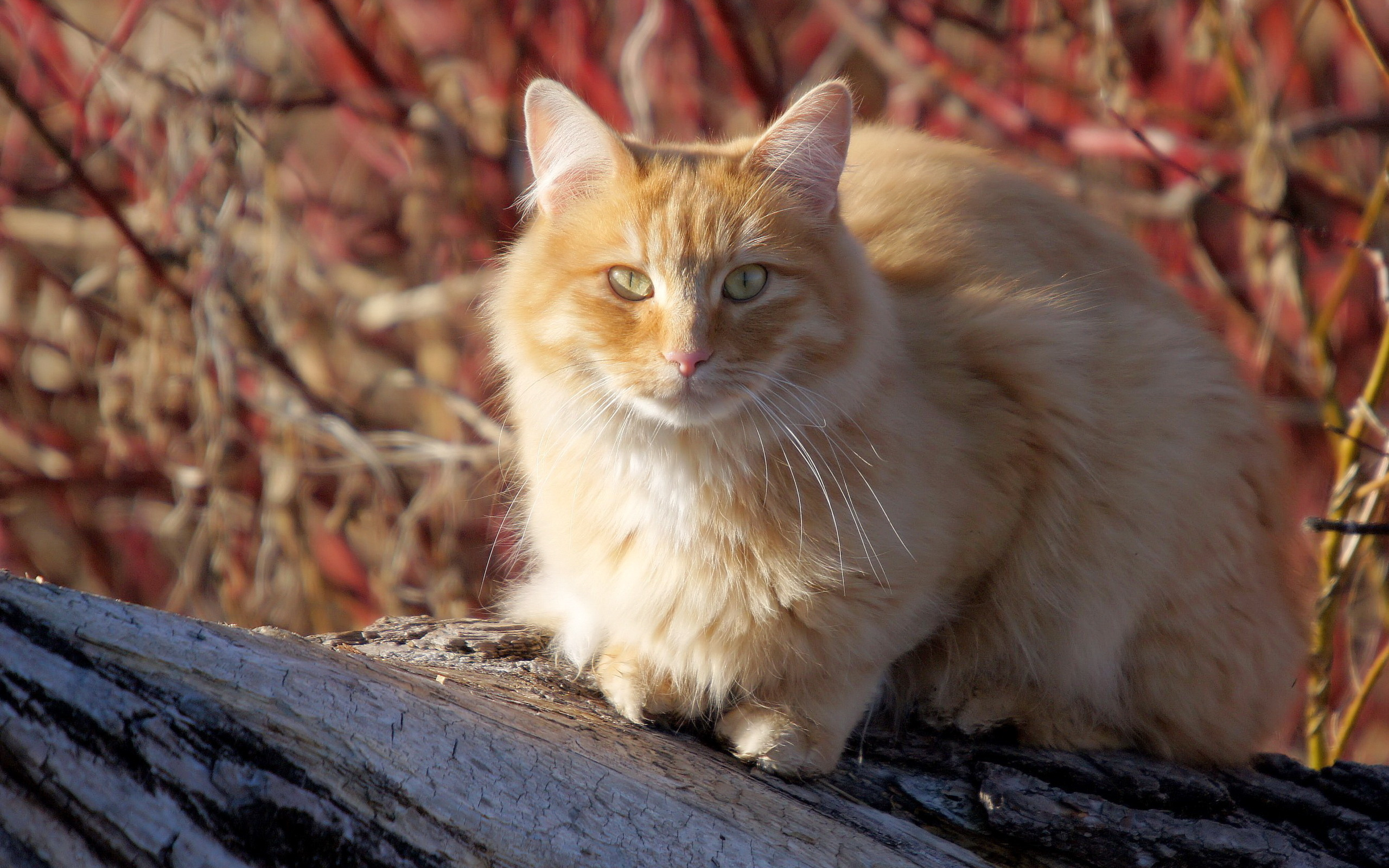 природа животные рыжий кот  № 940988 загрузить