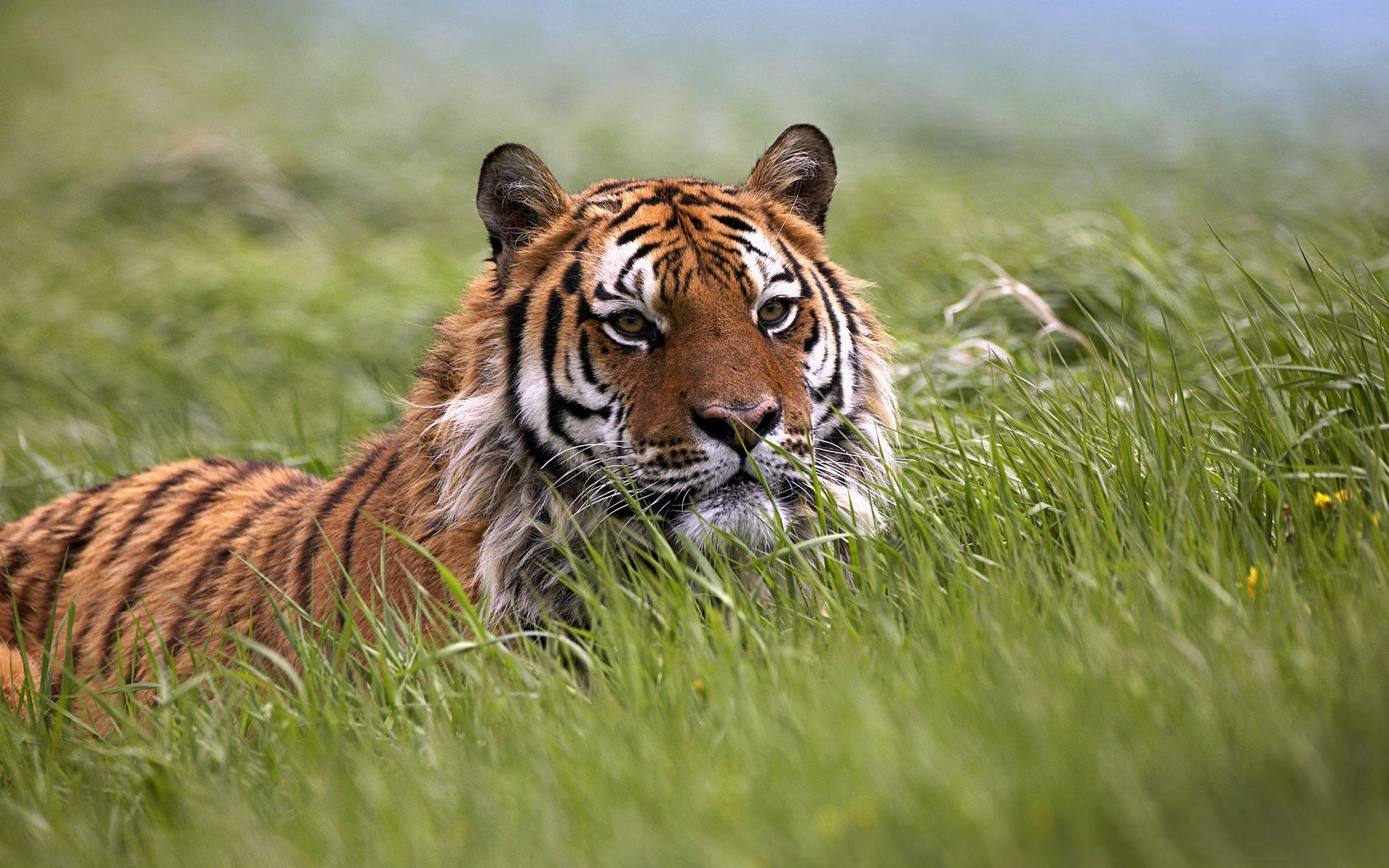 природа животные тигры nature animals tigers  № 1297254  скачать