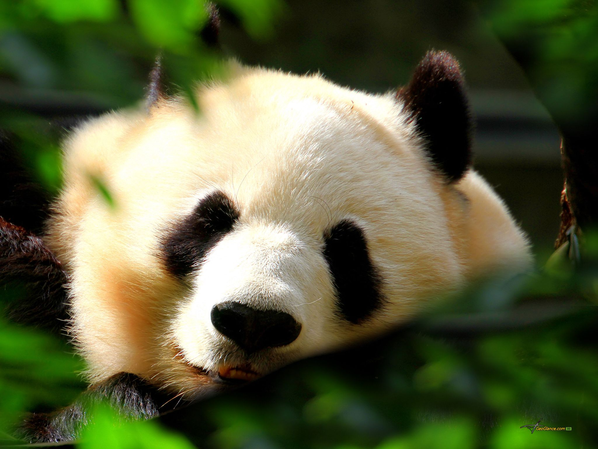 panda pictures hd wallpapers - photo #11