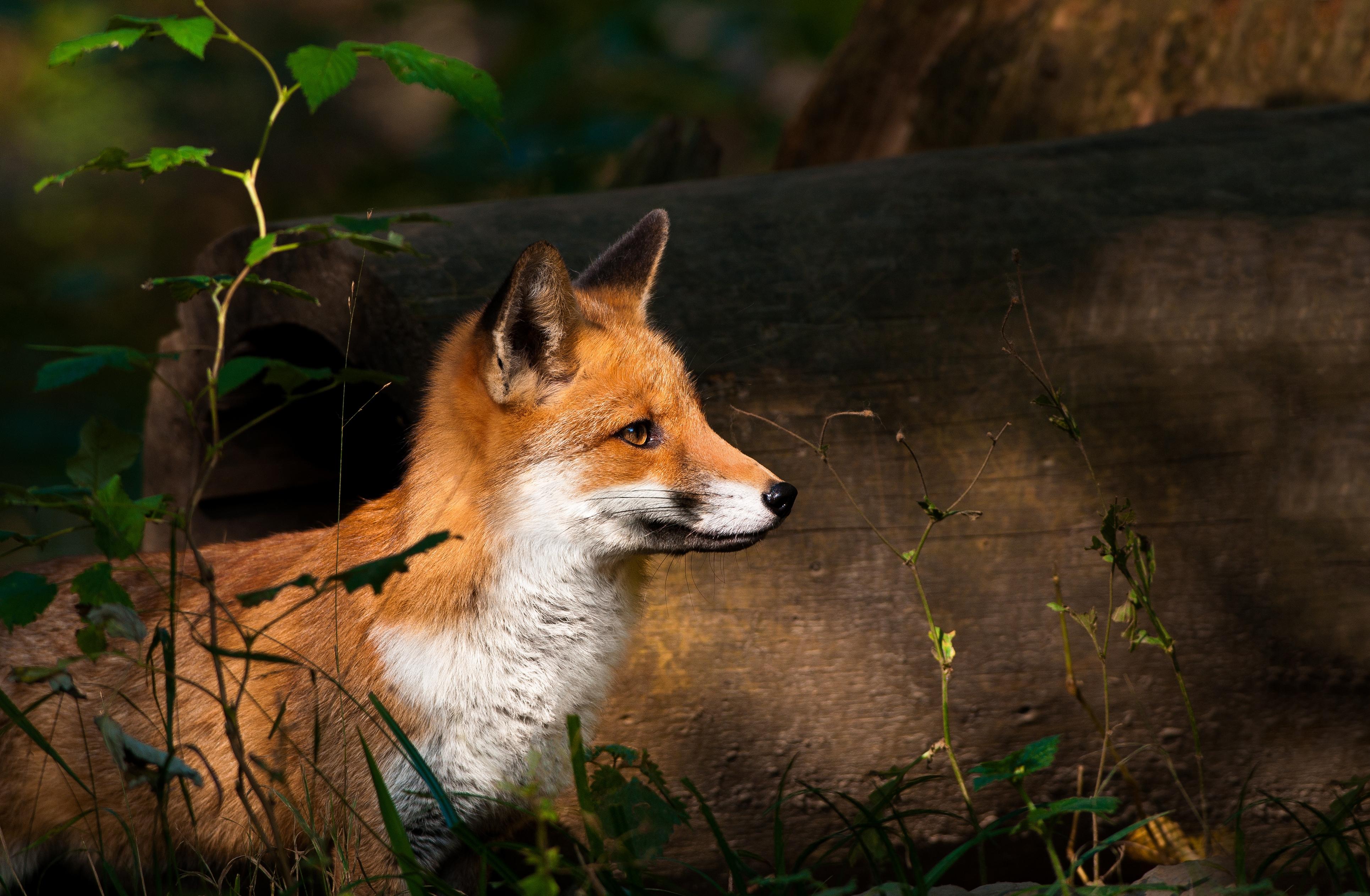 насторожившаяся лисица бесплатно