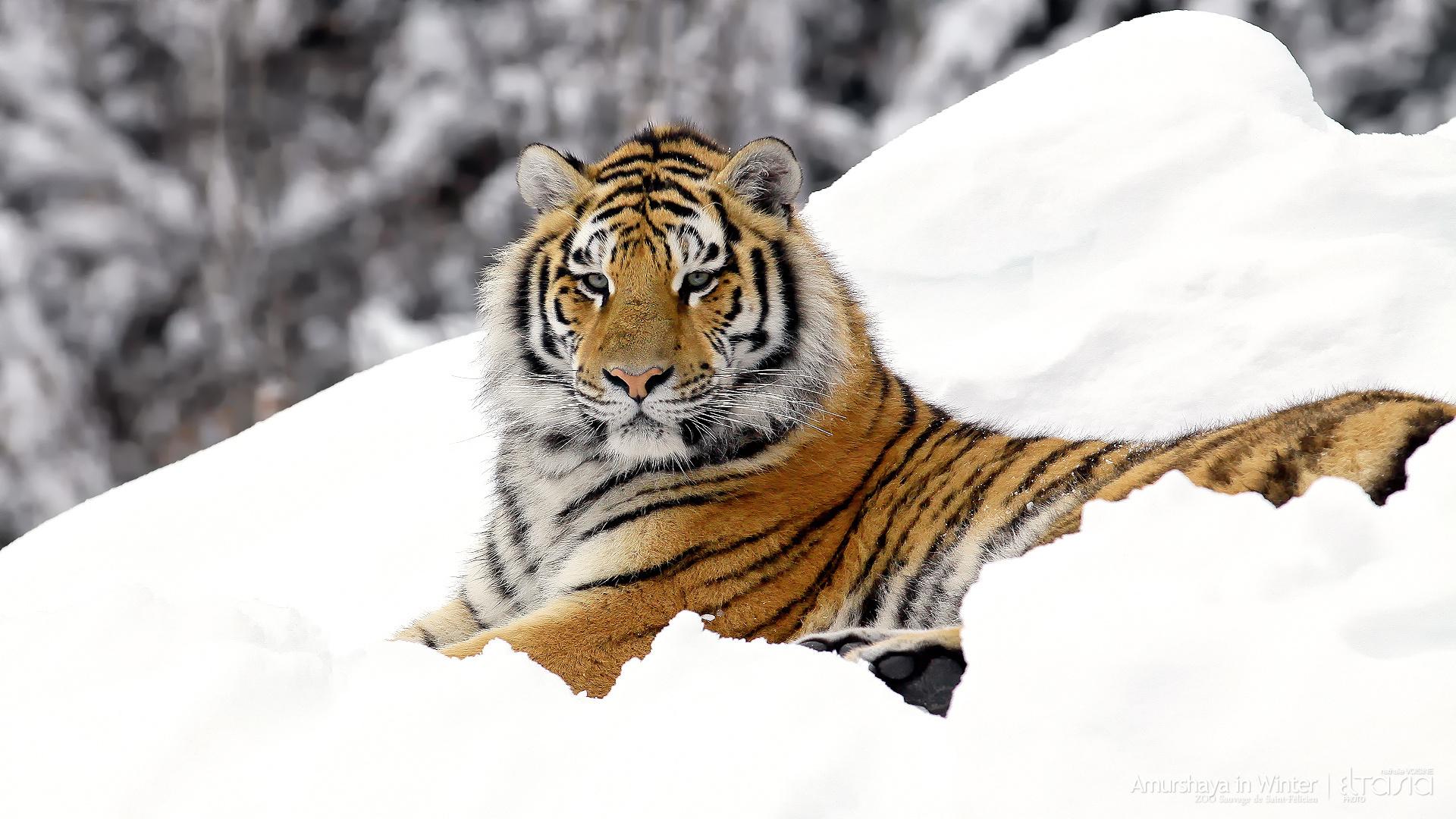 природа животные тигр снег зима в хорошем качестве
