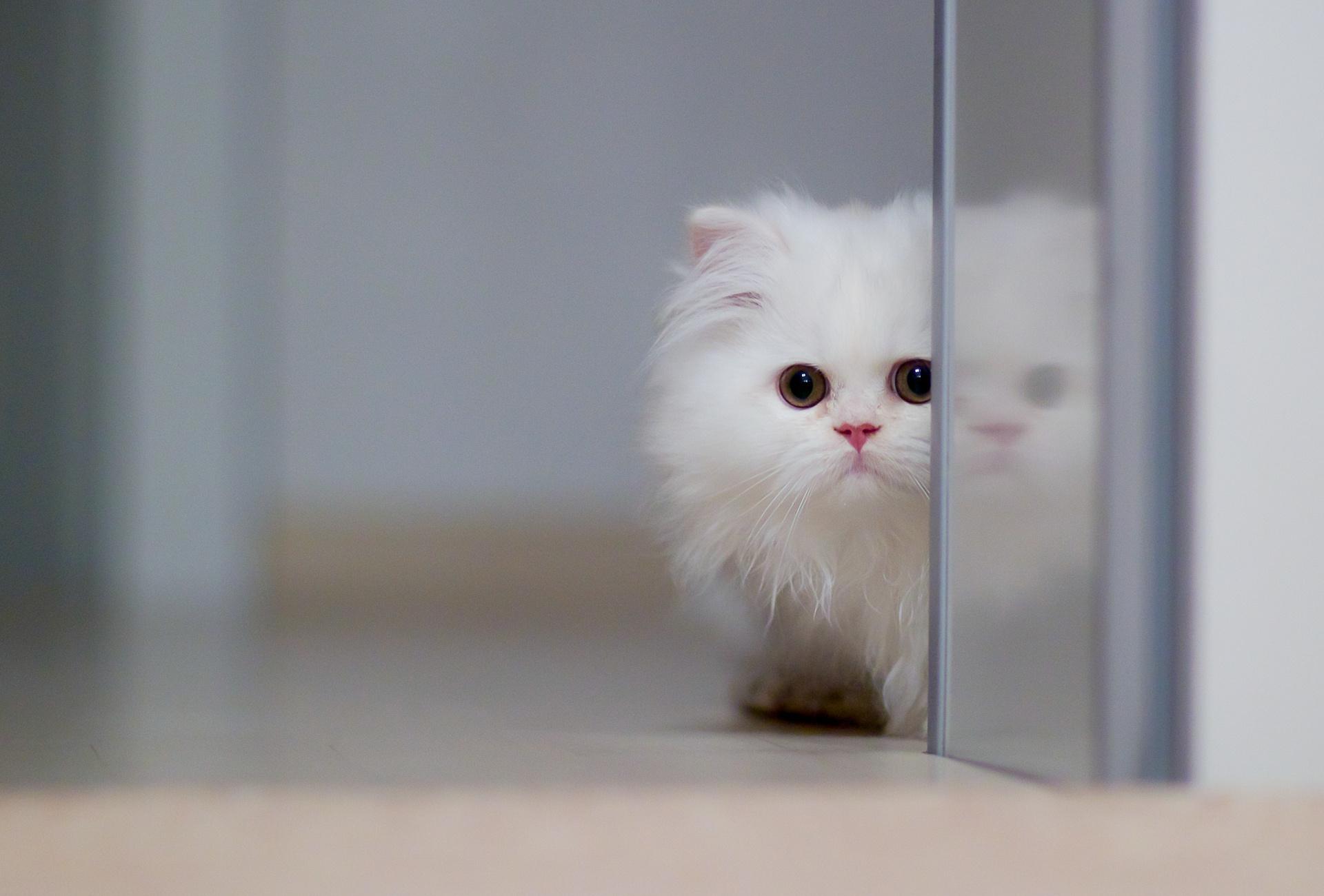 кот пушистый белый загрузить
