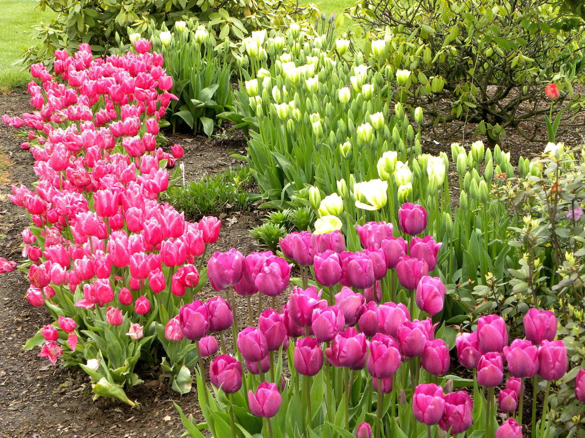 тюльпаны клумба  № 1349412 загрузить