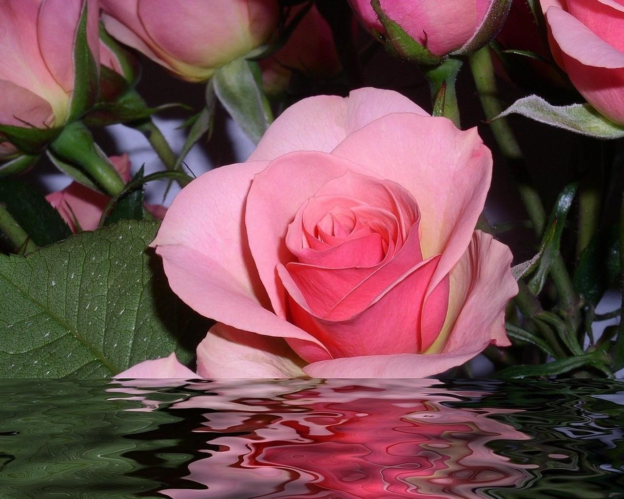 обои на рабочий стол самые красивые розы для тебя № 164801 загрузить